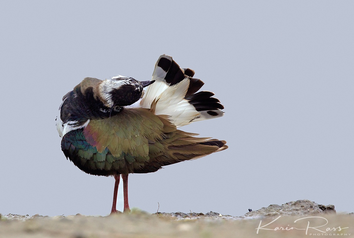 Northern Lapwing by KarinPeters