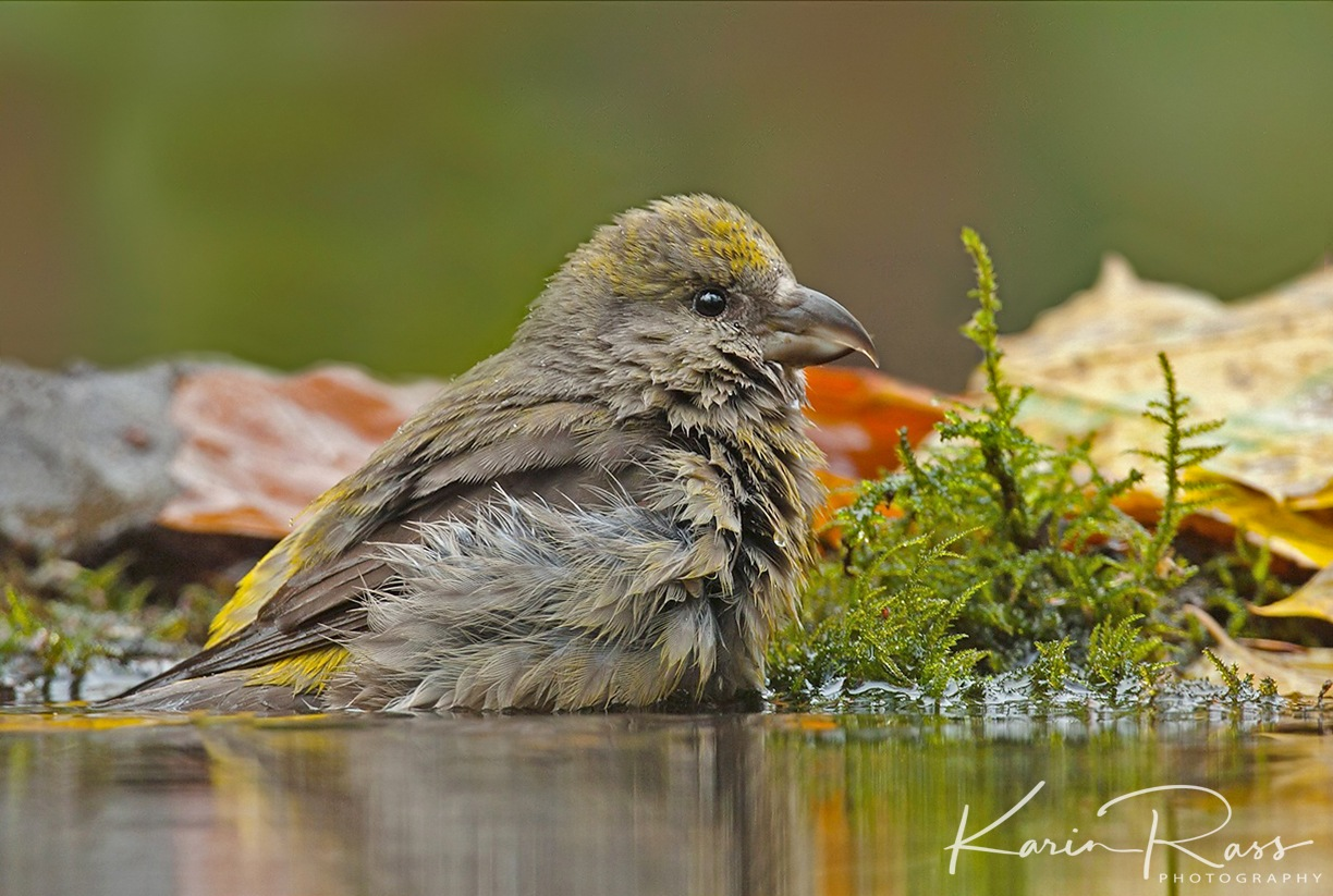 common crossbill by KarinPeters