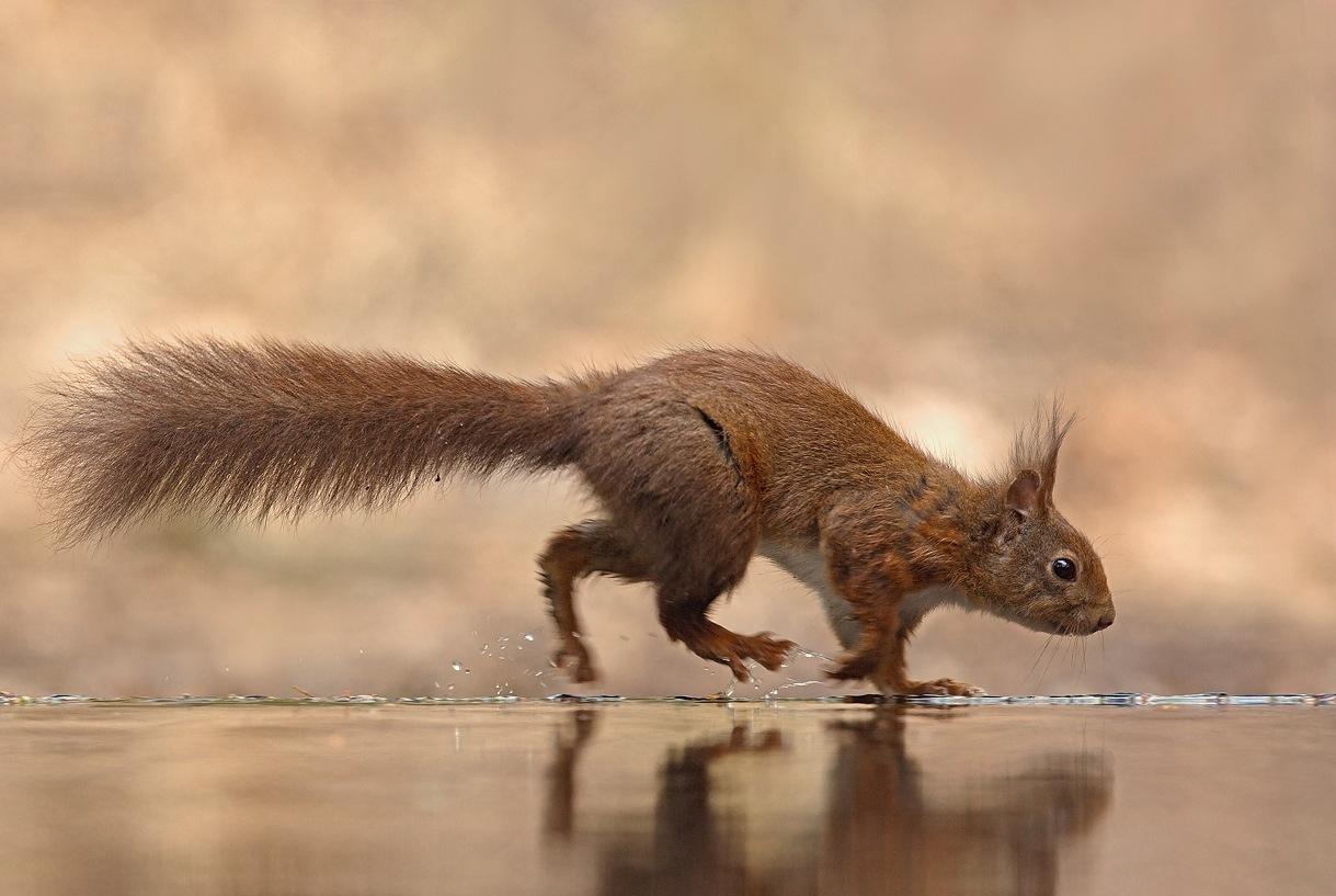 Squirrel by KarinPeters