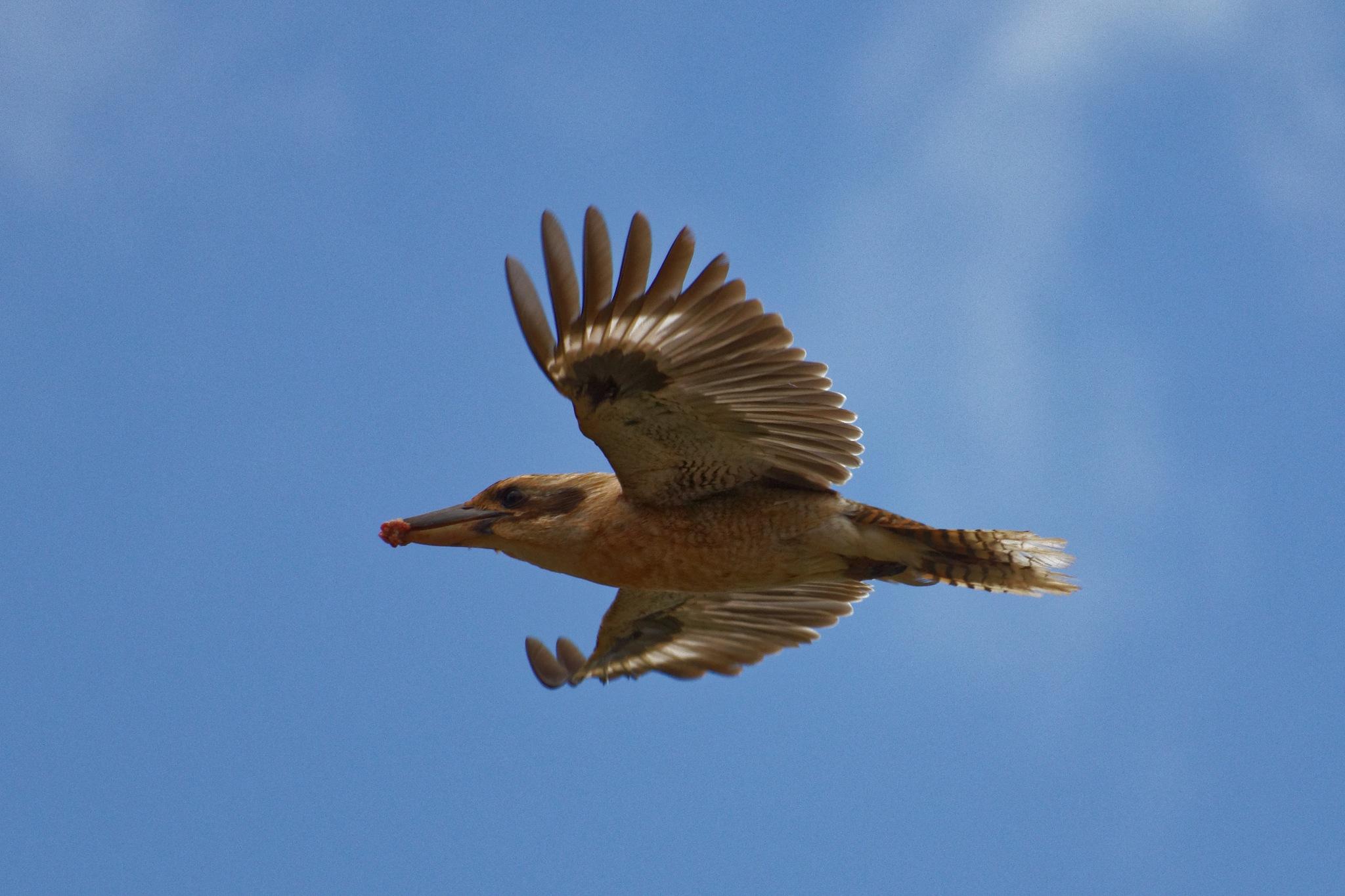 Kookaburra in flight by Yossarian1