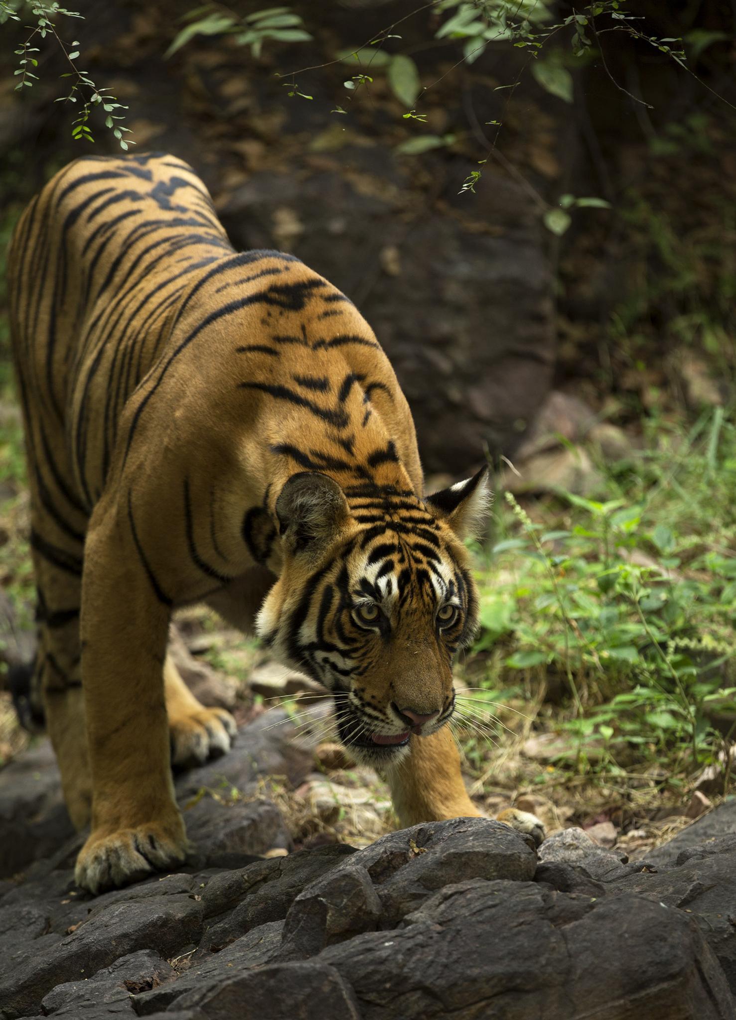 #bengaltiger #indianwildlife #tiger by Sumant Pinnamaneni