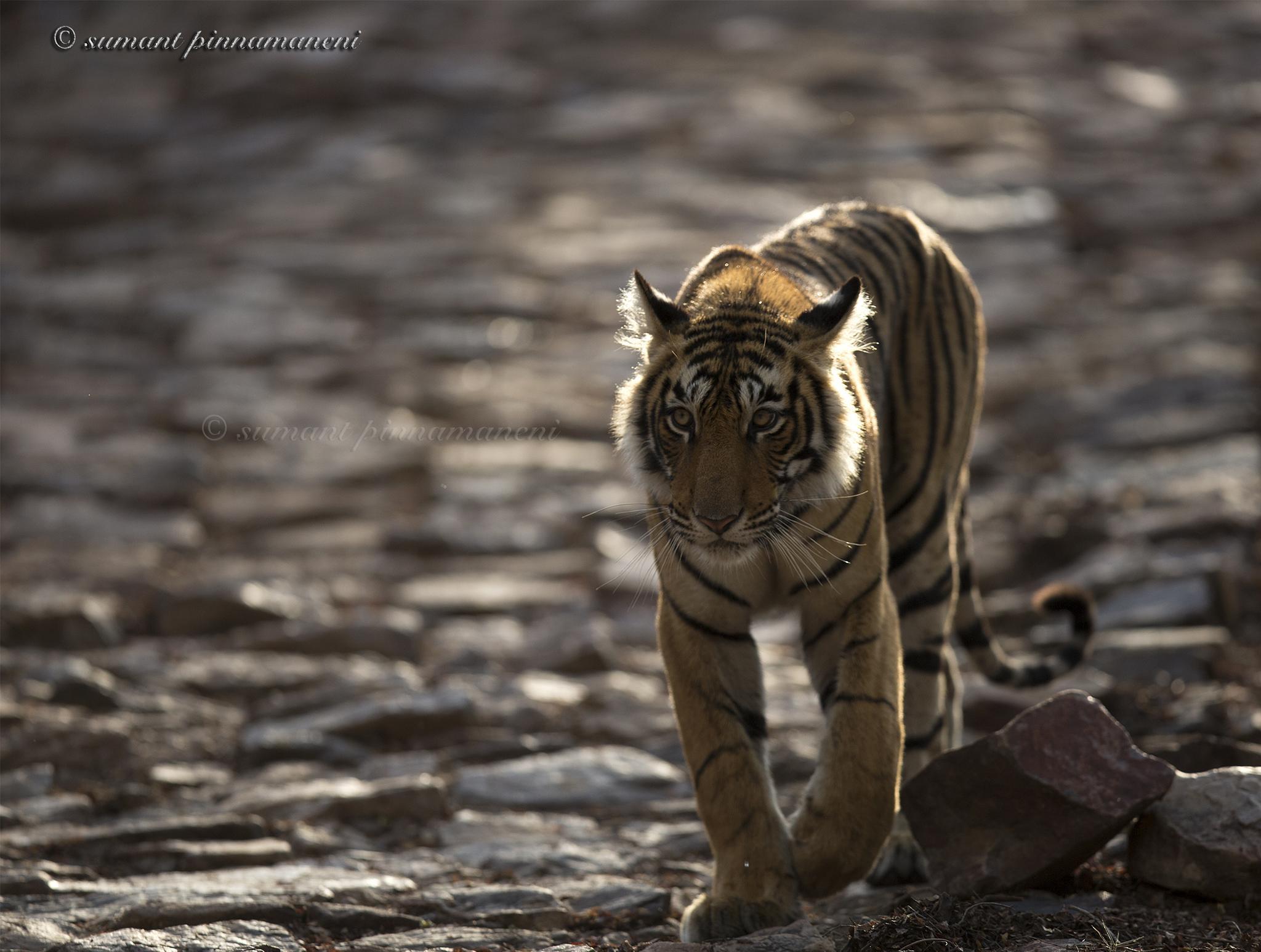#bengaltiger #tiger by Sumant Pinnamaneni