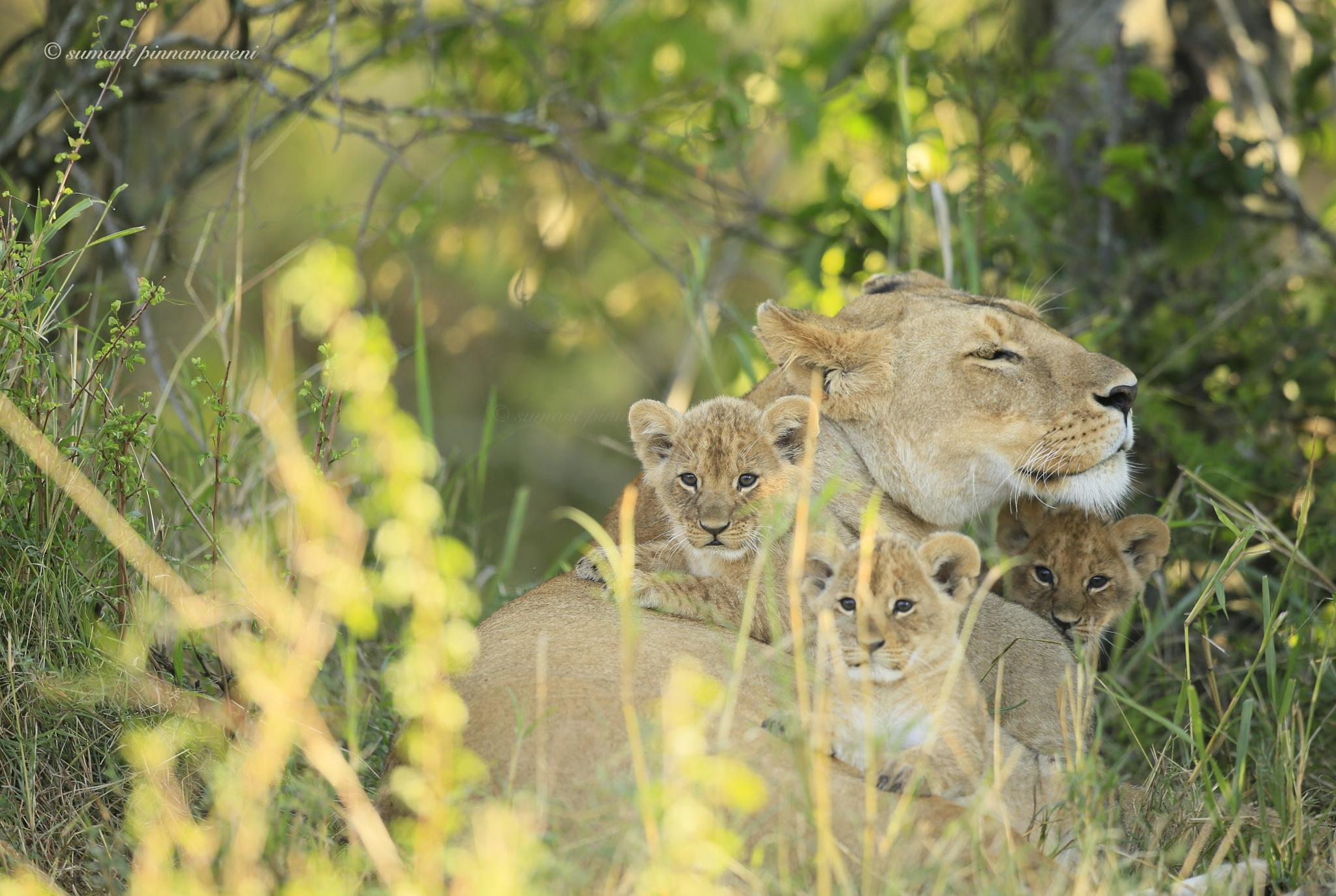 #lioness by Sumant Pinnamaneni