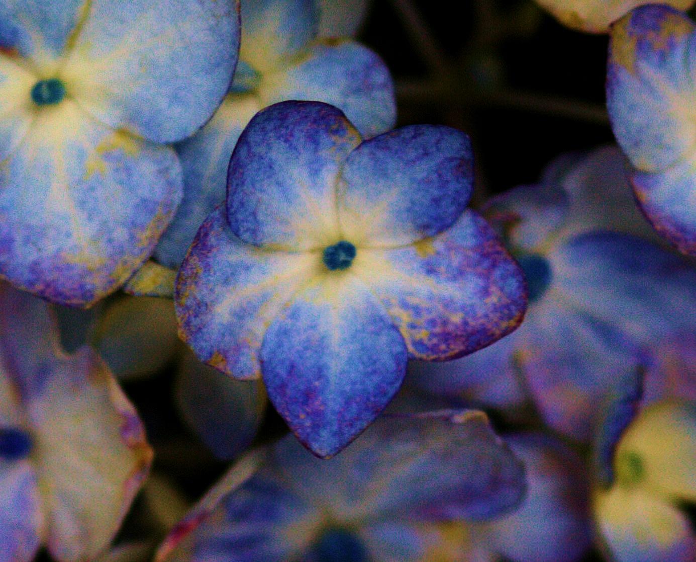 Small Blue Hydrangea Flower by jdwines
