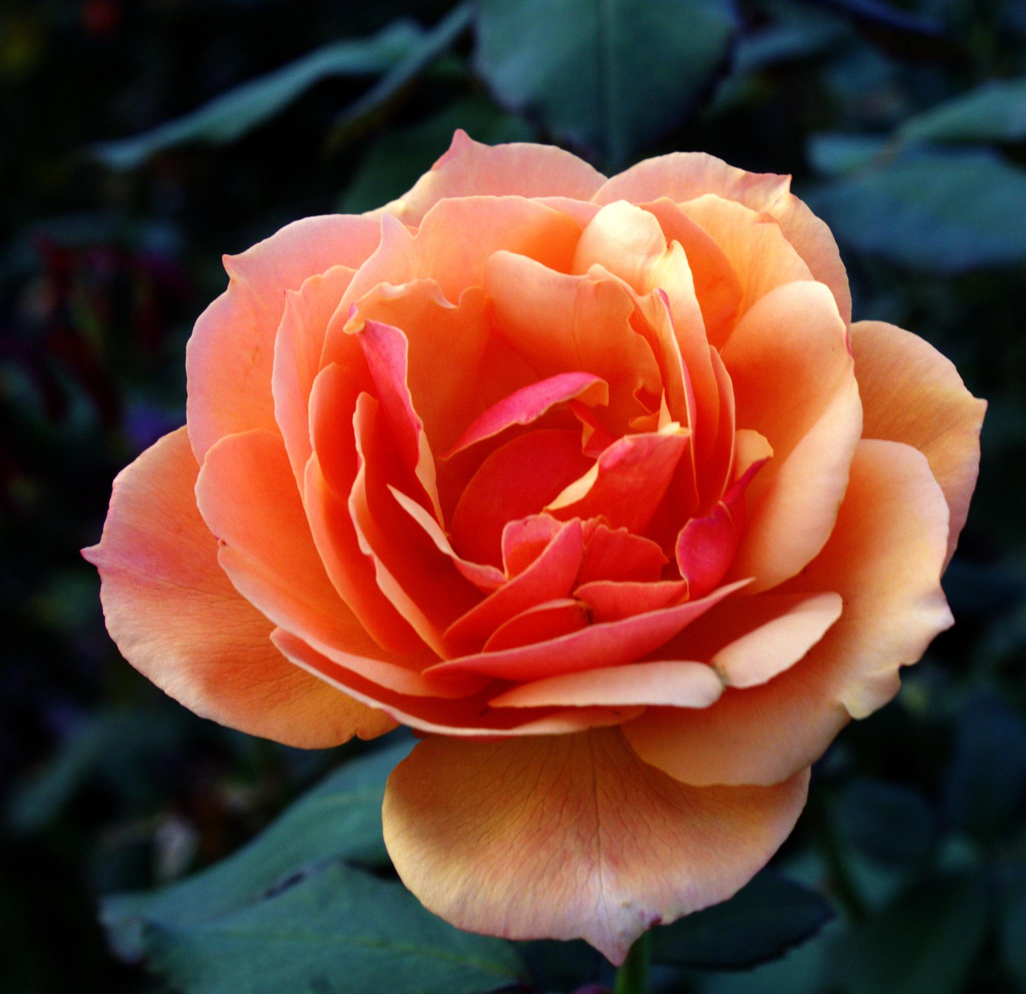 PEACH ROSE 2 by jdwines