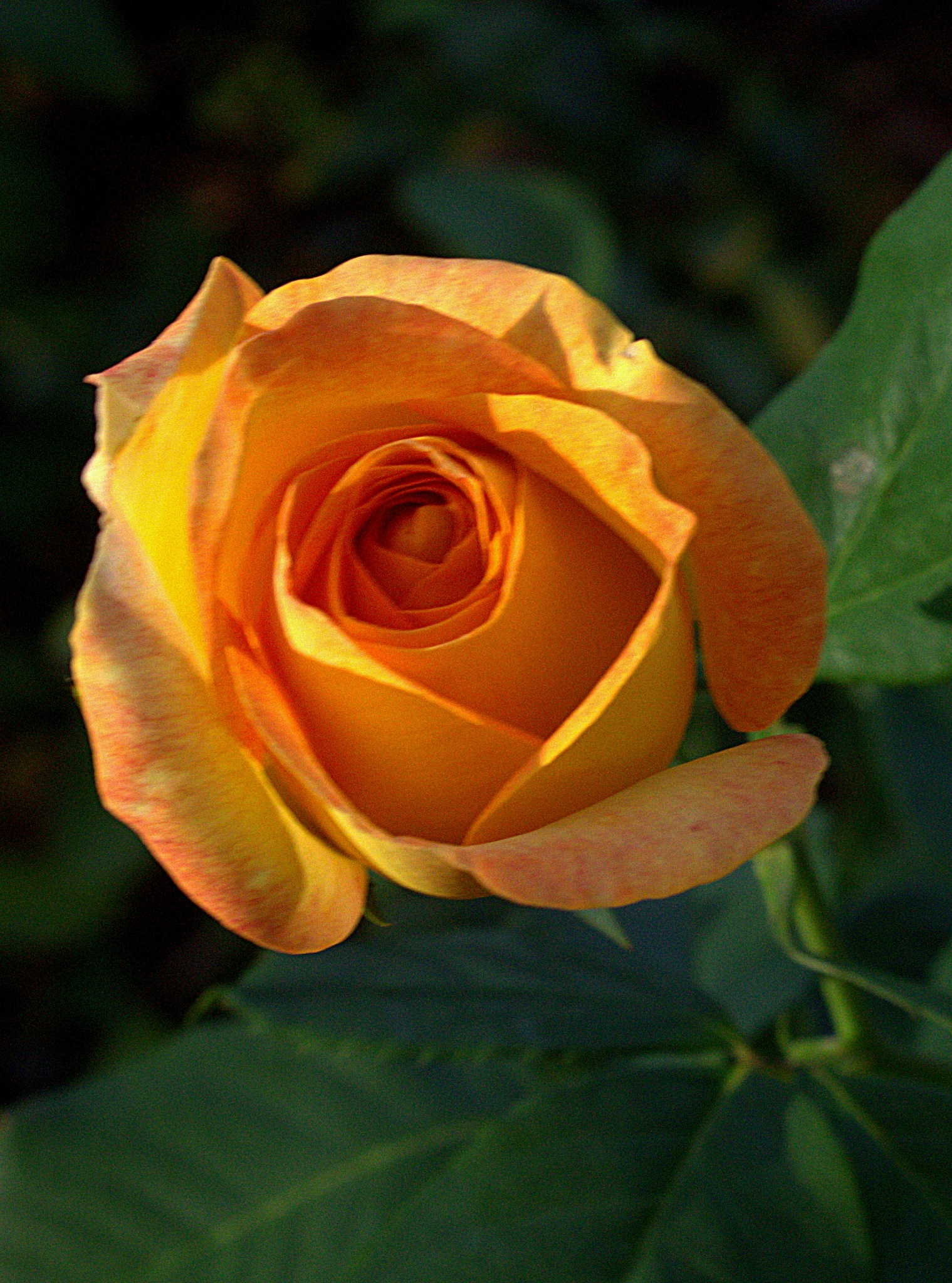yellow rose by jdwines