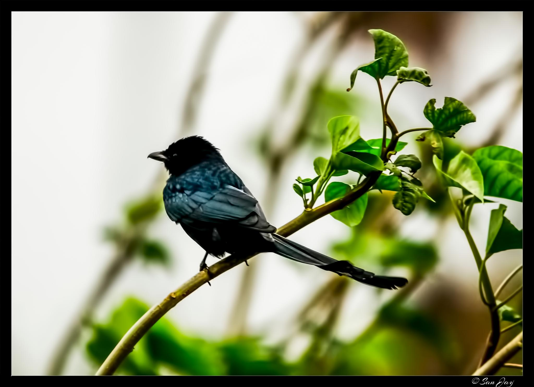 Black Drongo by San Jay