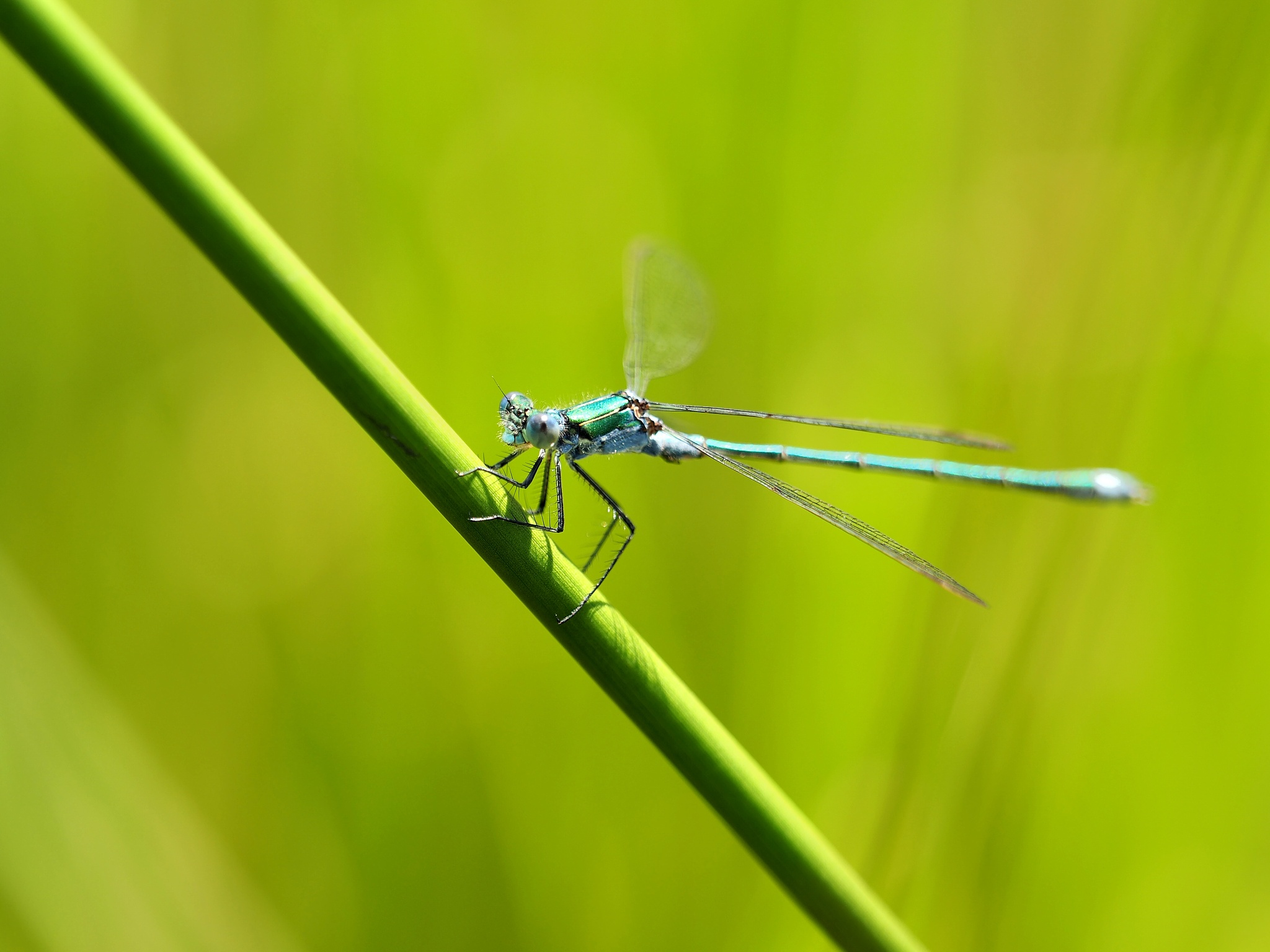 Blue and Green (Coenagrion puella) by teejeehaa