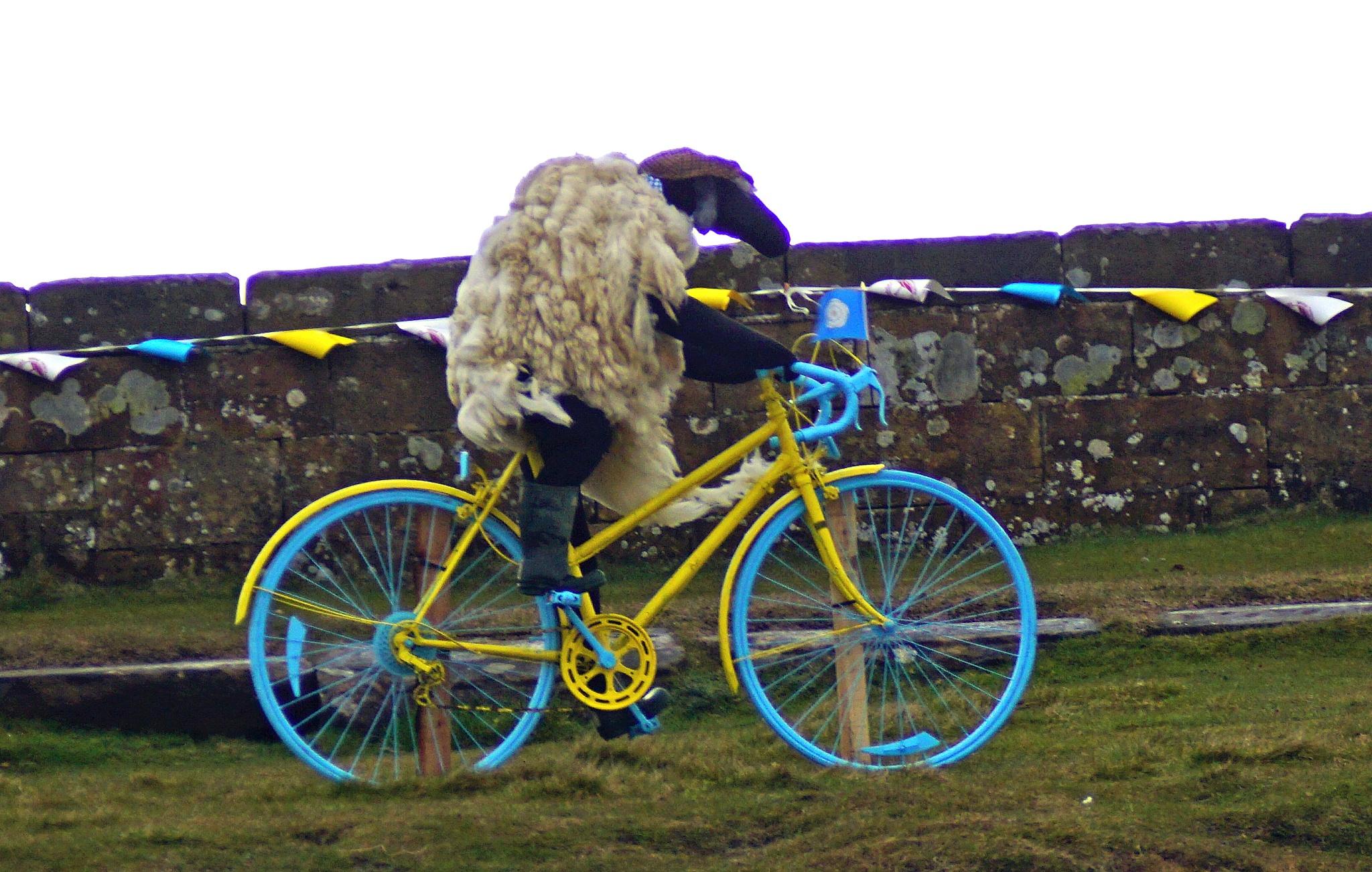 Cycling Sheep? by glyndwr48