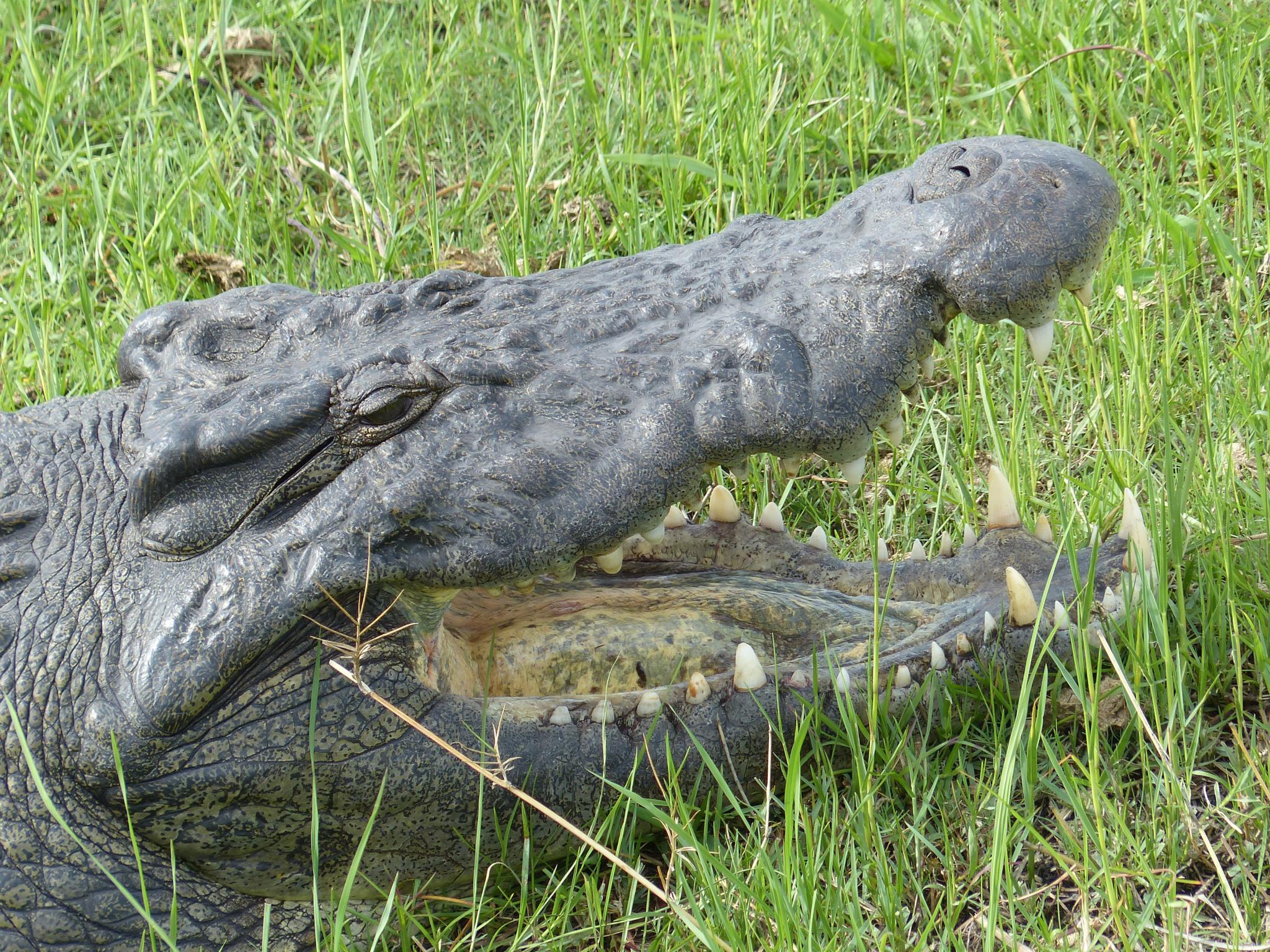 crocodile in Botswana by MHW