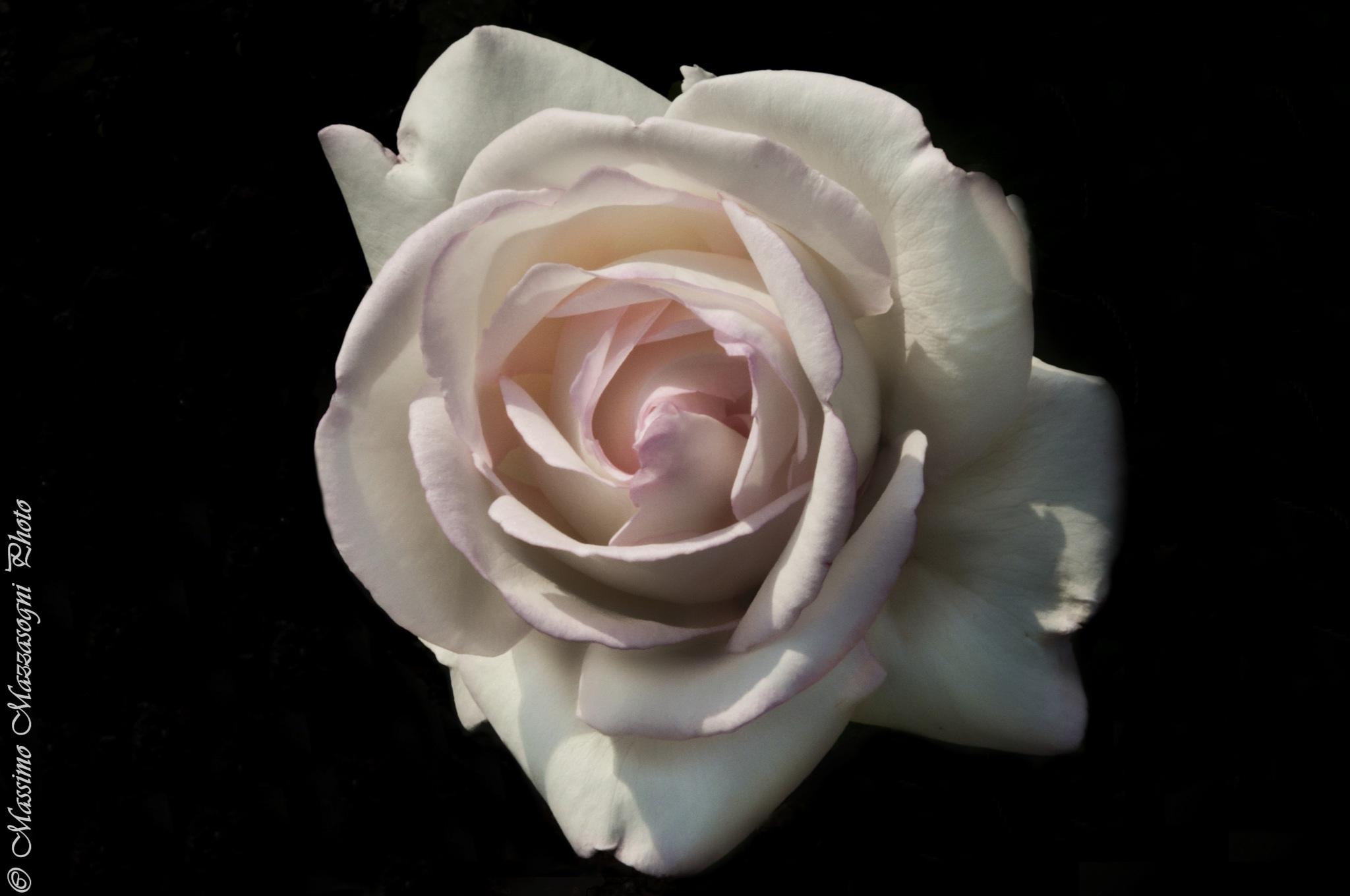 Rose by Massimo Mazzasogni