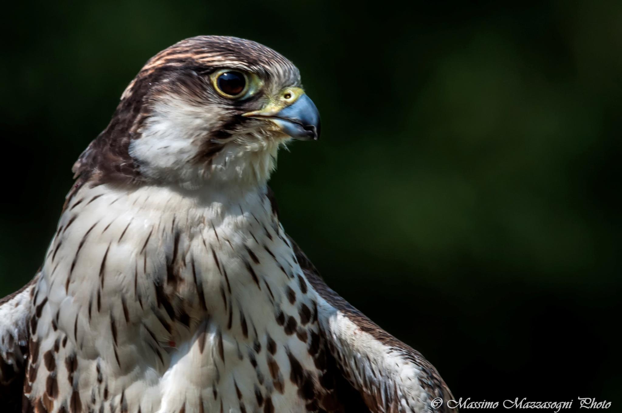 Hawk Portrait by Massimo Mazzasogni