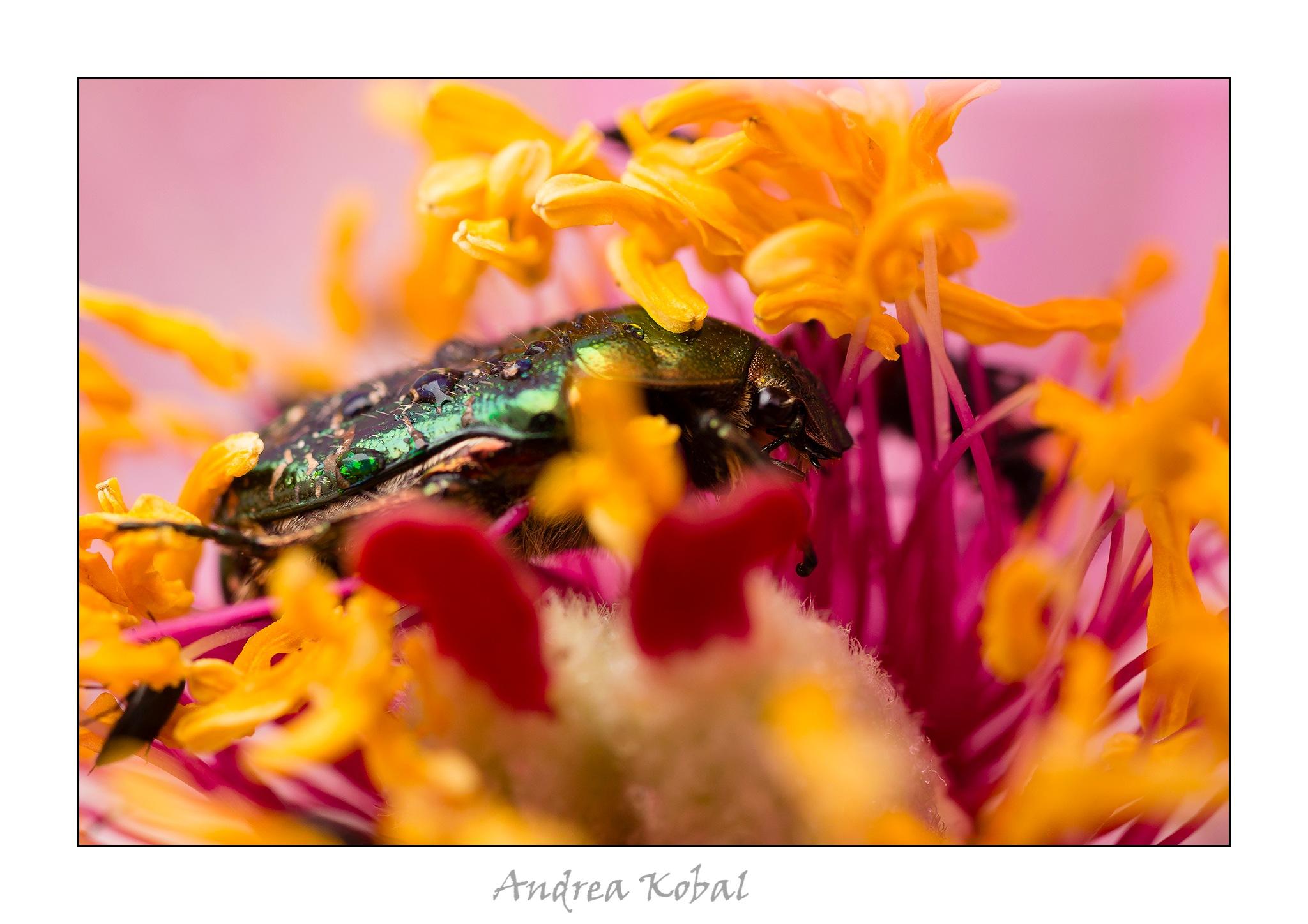 Beetle by Andrea Kobal