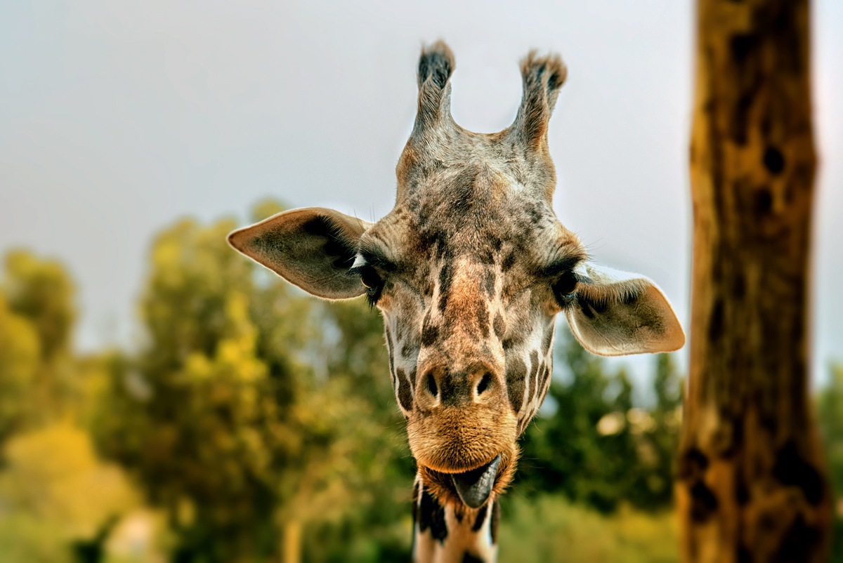 Giraffe shows me the tongue by Anna Simagina