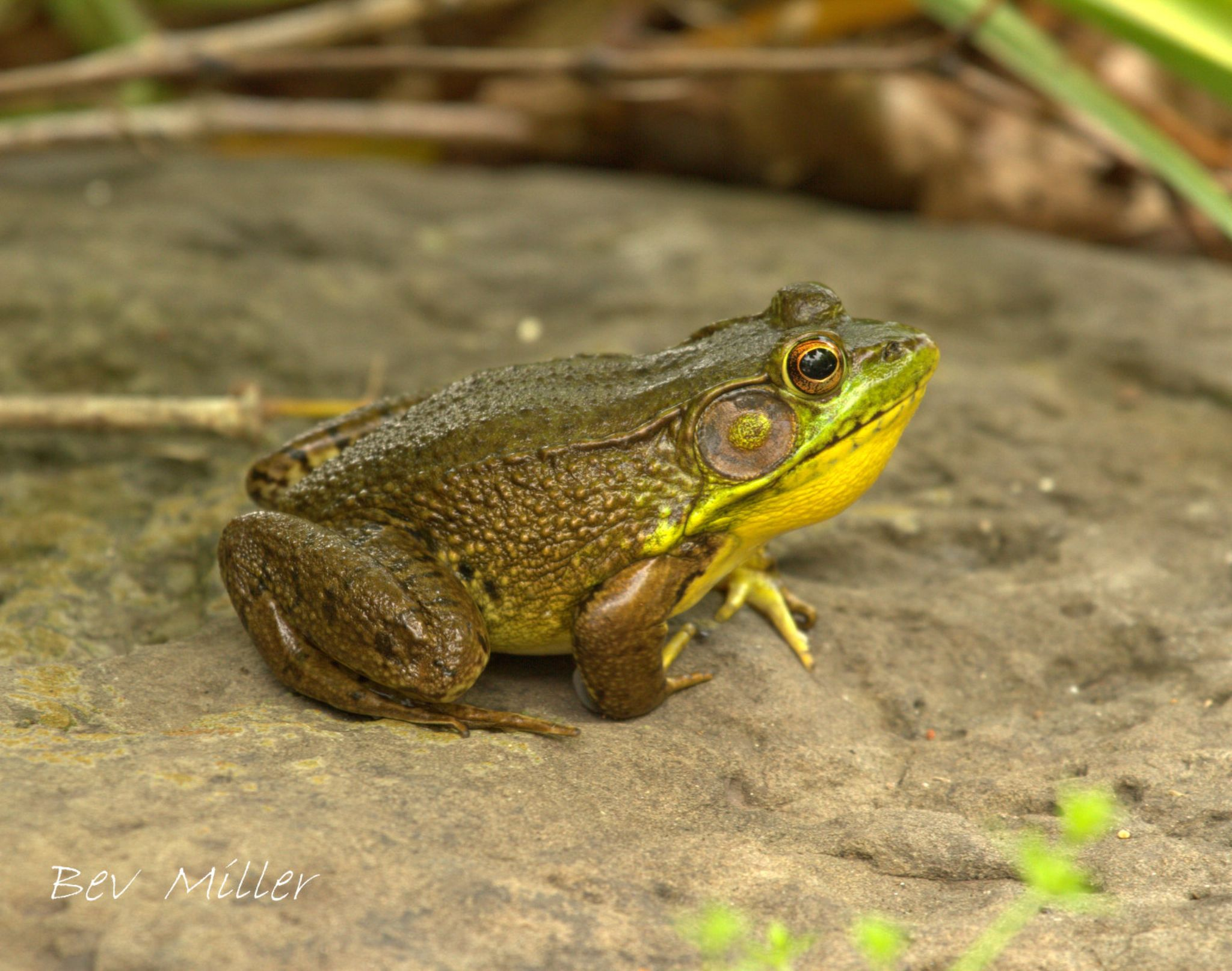 Bob the Bullfrog by Beverly