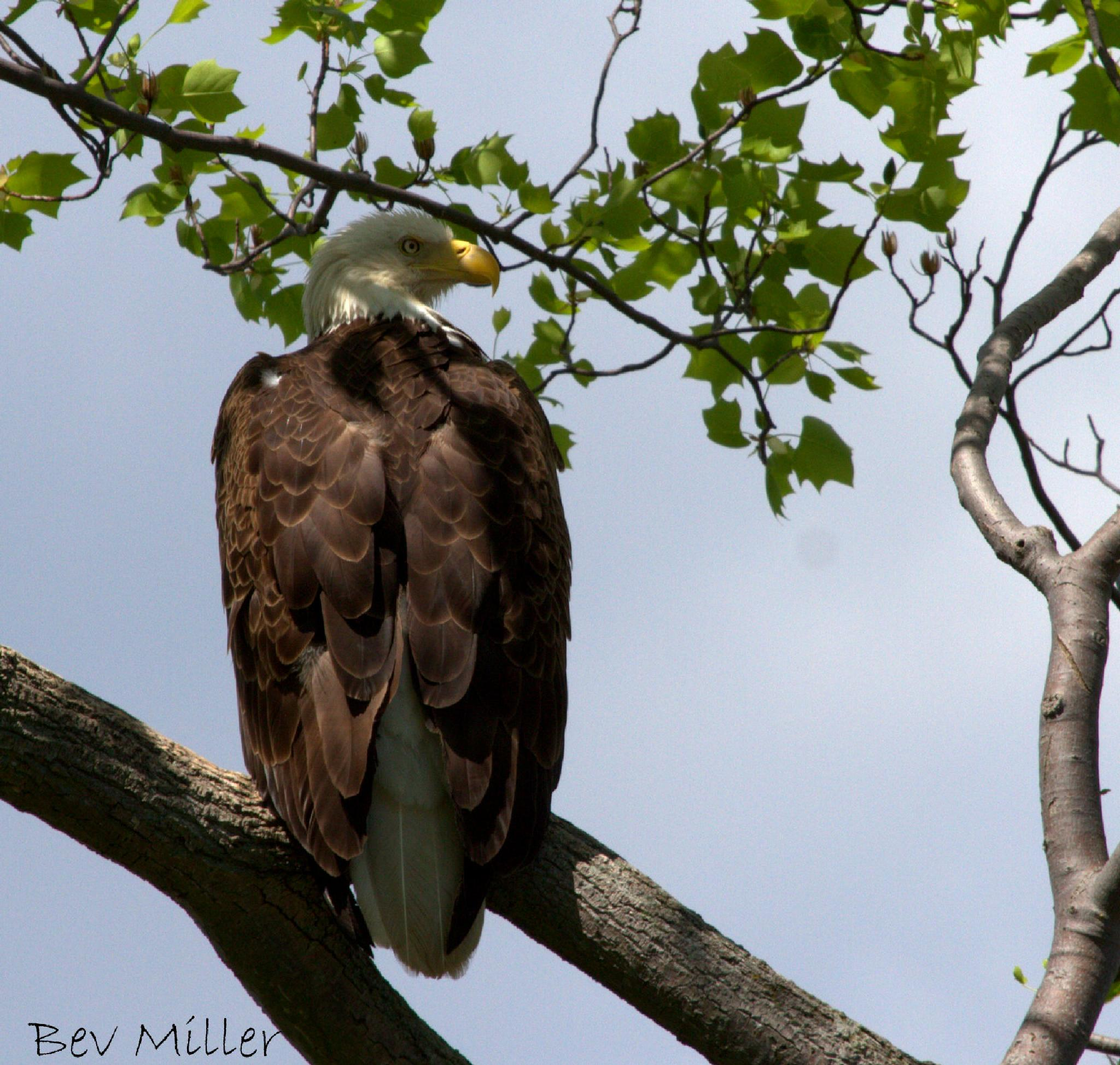 Bald Eagle by Beverly