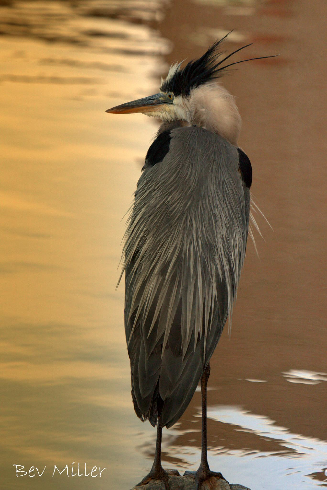 Great Blue Heron by Beverly