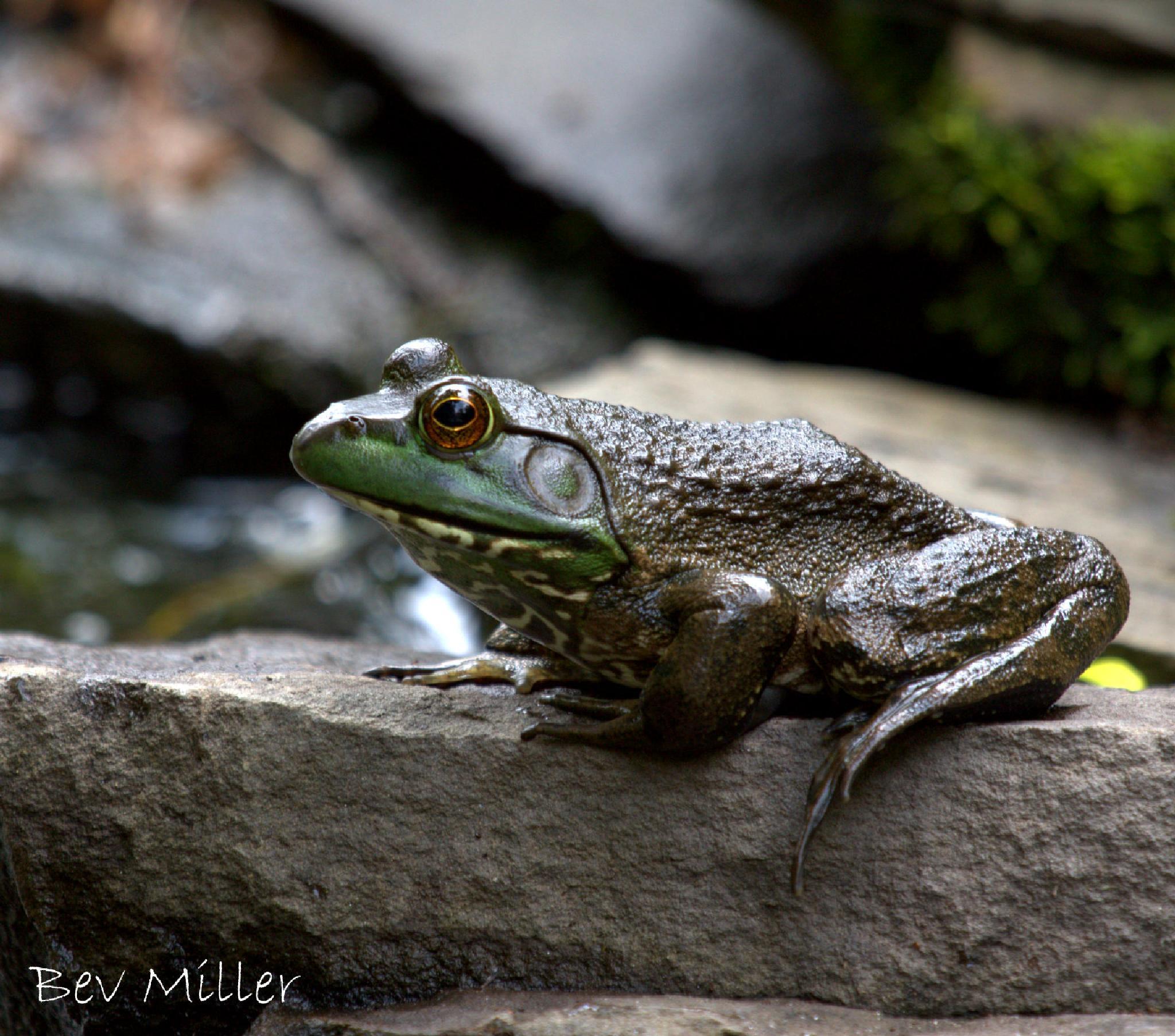 Bullfrog by Beverly