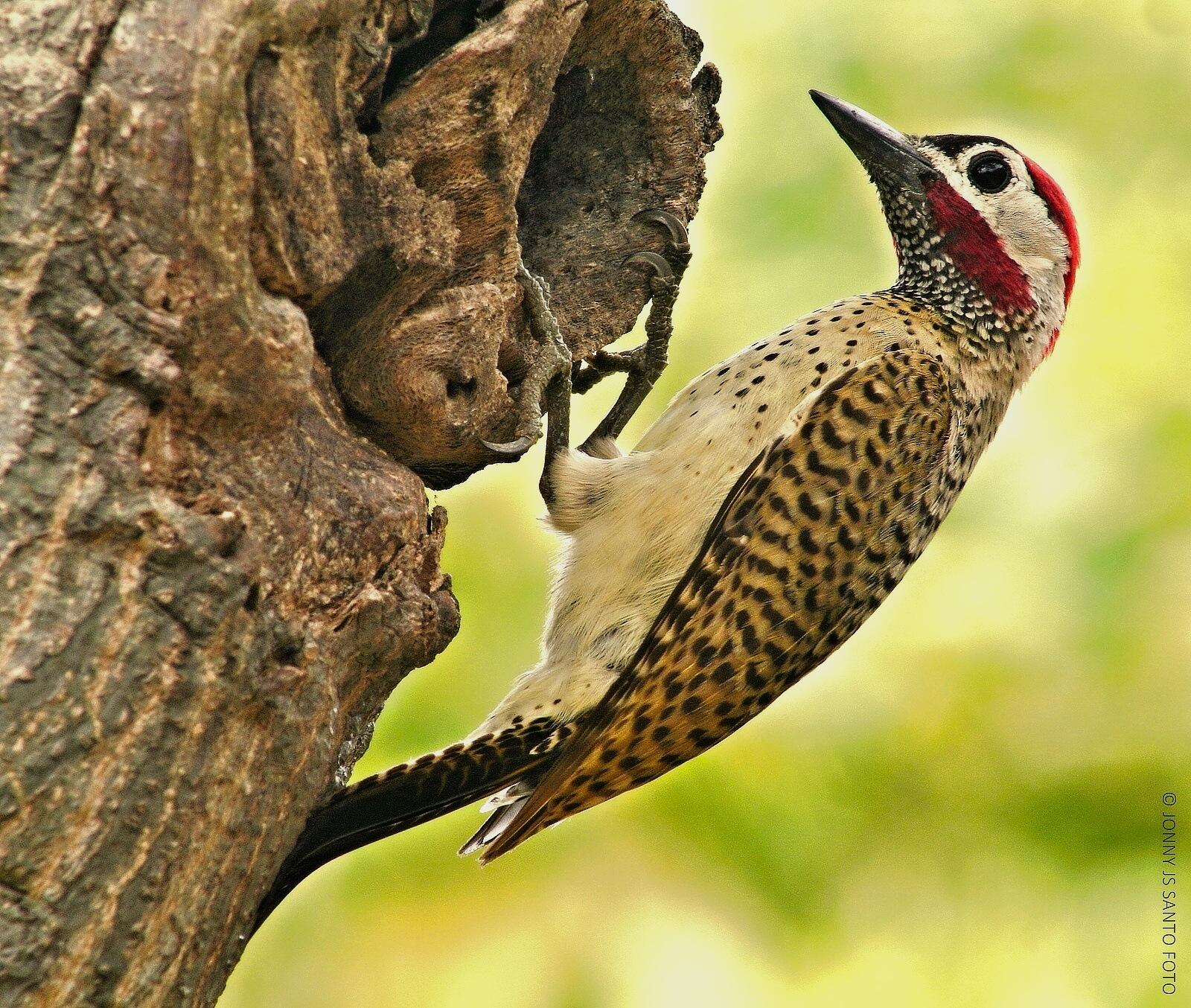 The Woodpecker by Jonny Santo