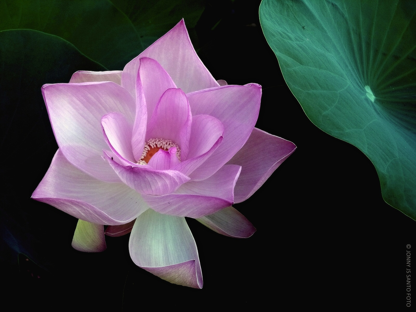 Lotus III by Jonny Santo