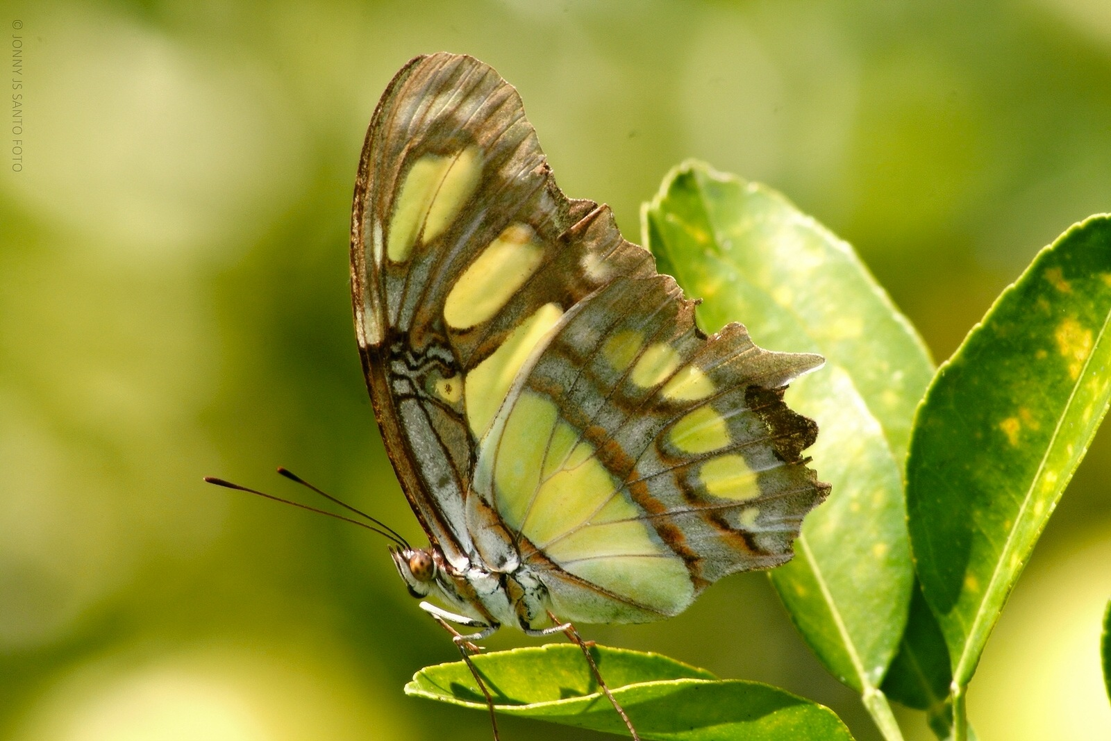 The Butterfly by Jonny Santo