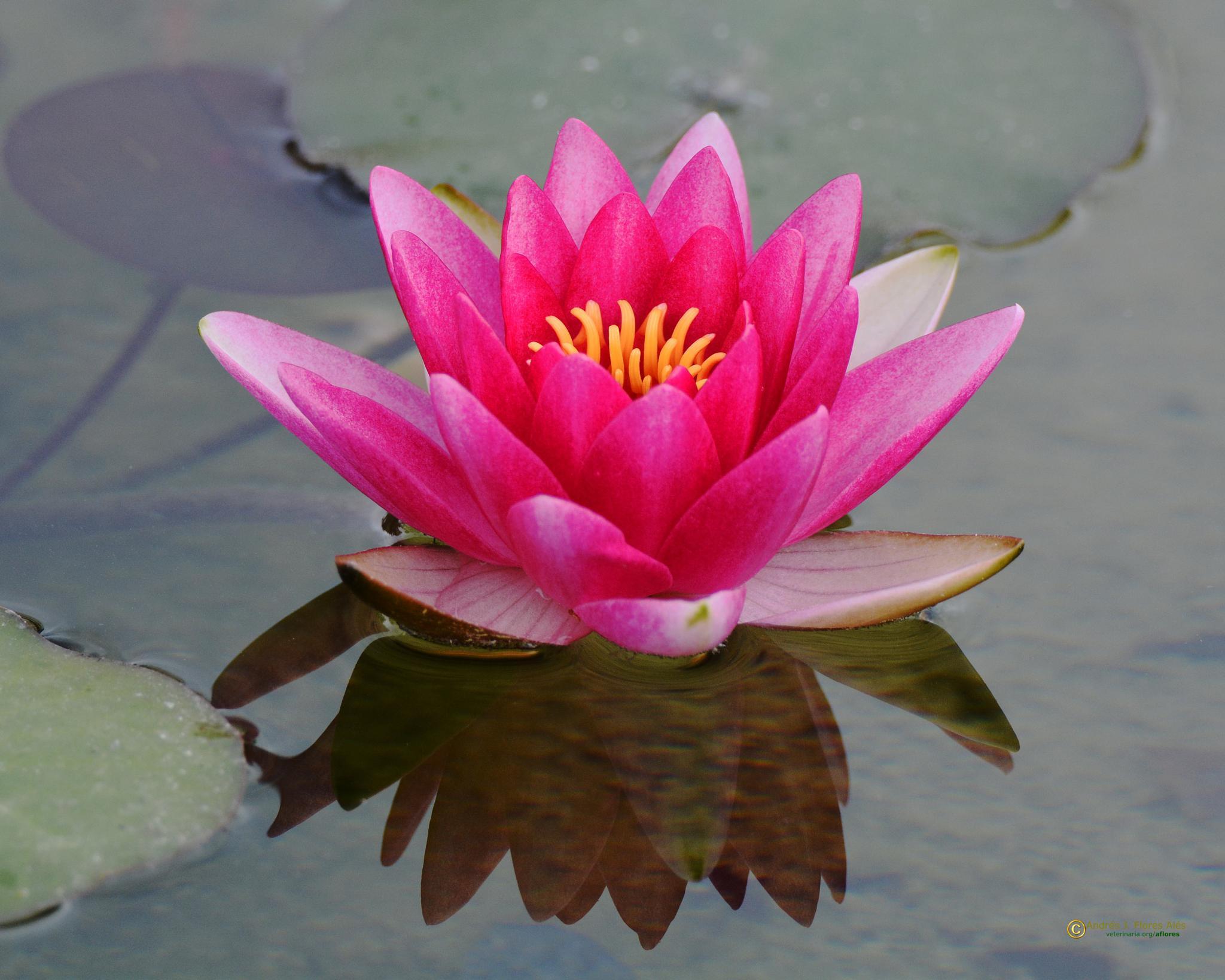 Photo in Nature #nenufar #flores
