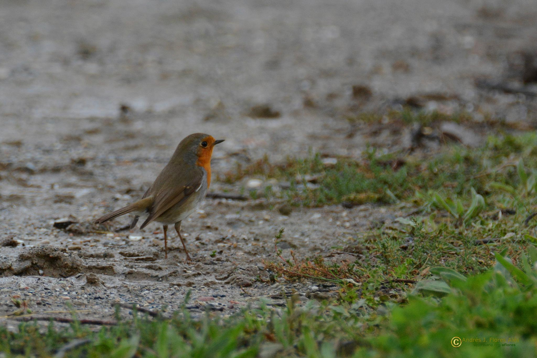 Photo in Animal #petirrojo europeo #pajaros #aves