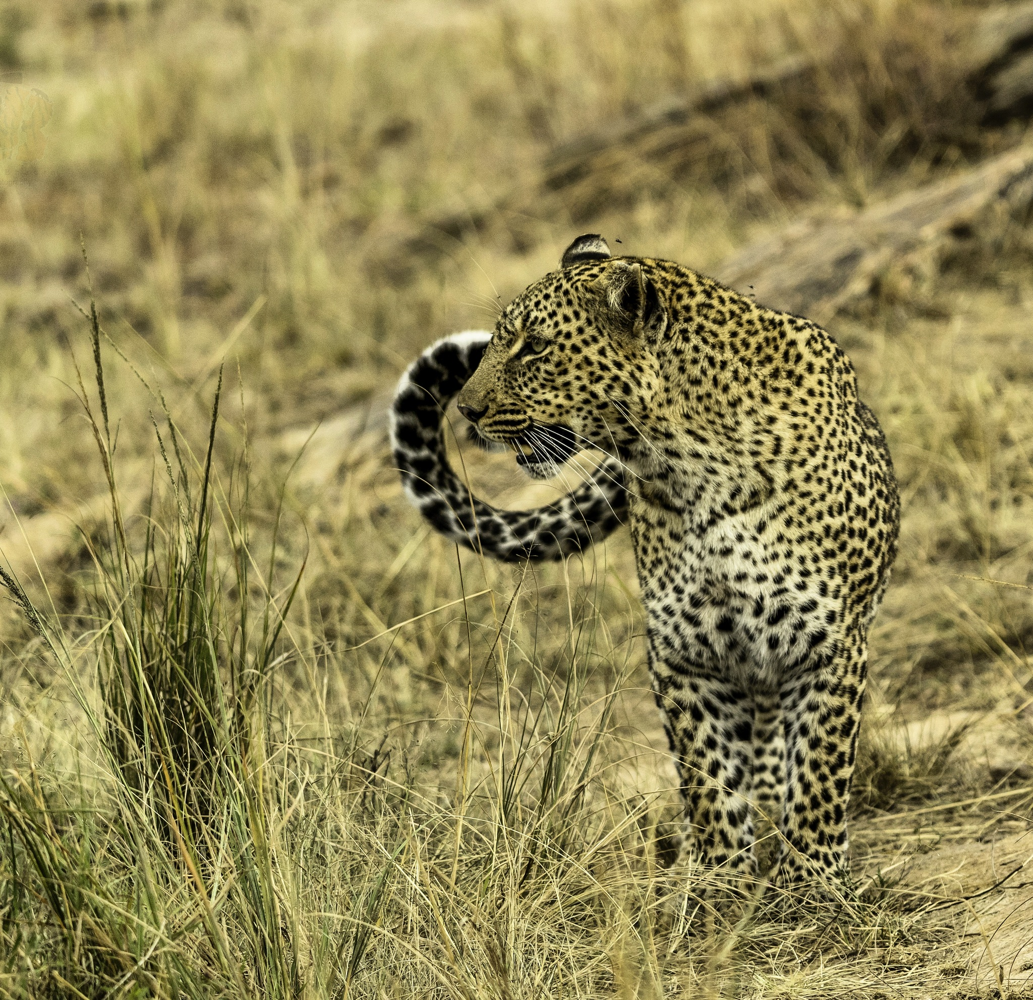 leopard watching over a gazelle  by shyambhagra