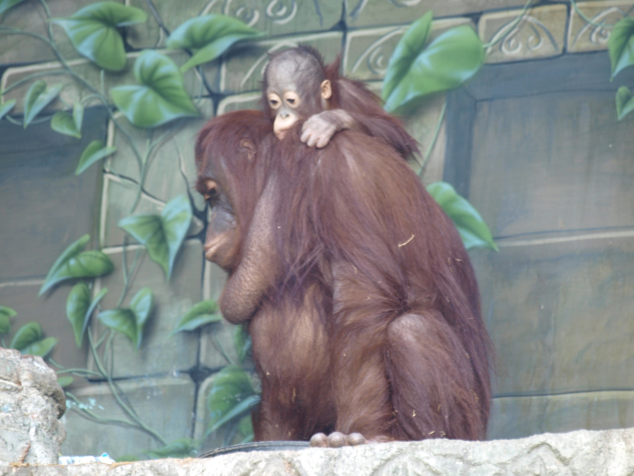 Photo in Animal #orangutan #zoo #baby orangutan
