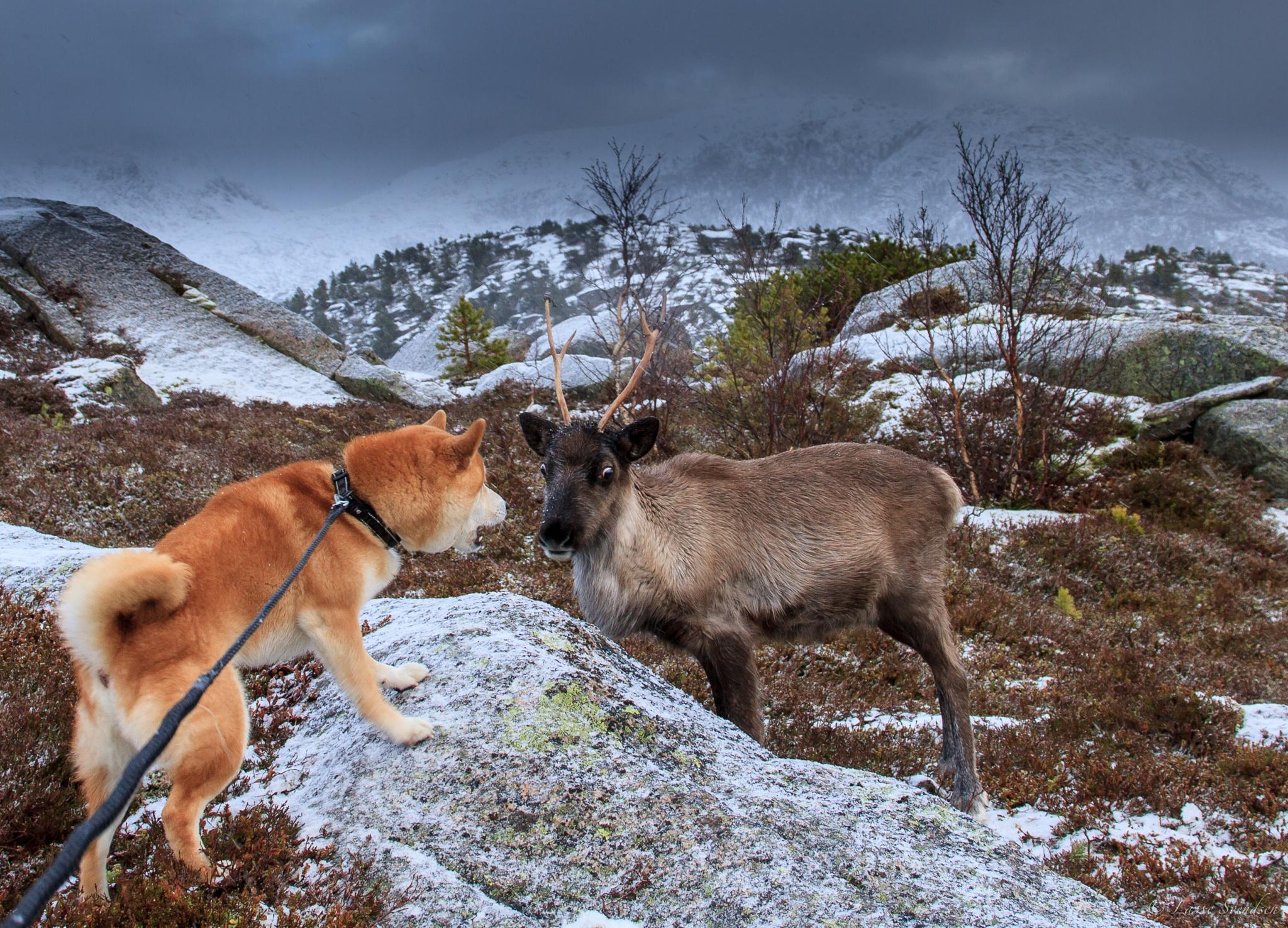 Frost meet a reindeer by Lasse Svendsen