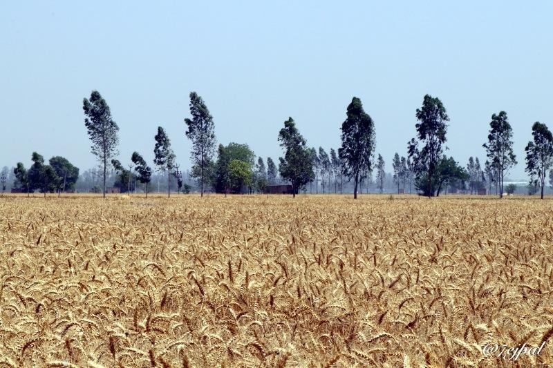 Golden land by Tejpal Singh