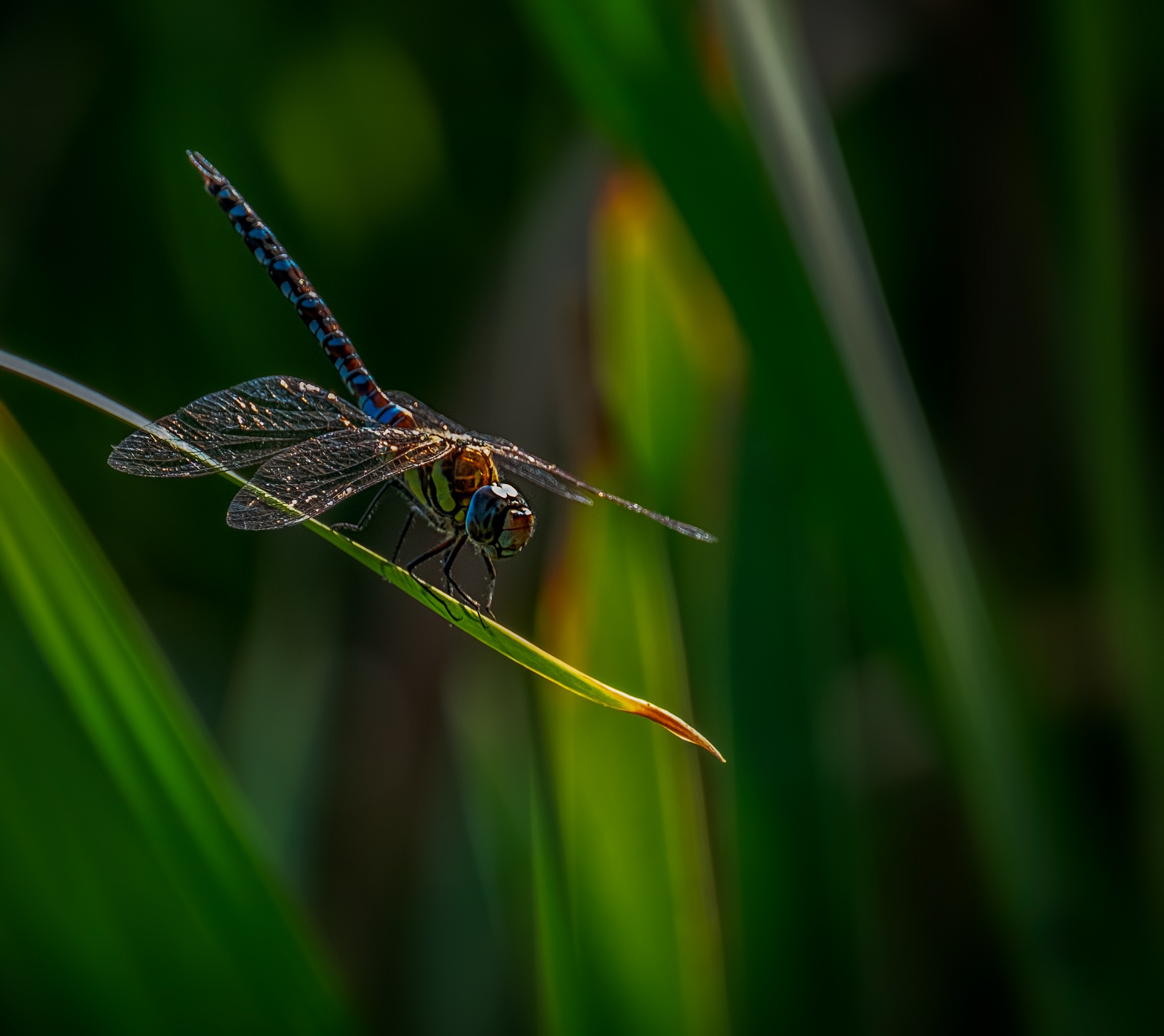 Migrant Hawker early morning by Jim Palfrey