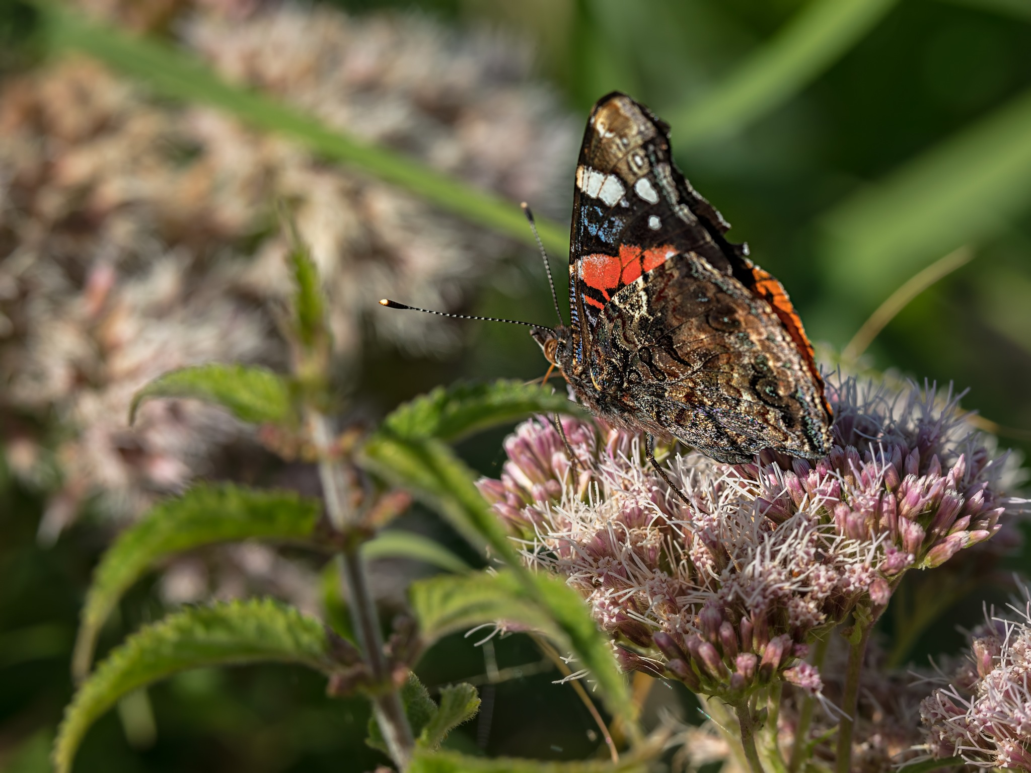 Red Admiral by Jim Palfrey