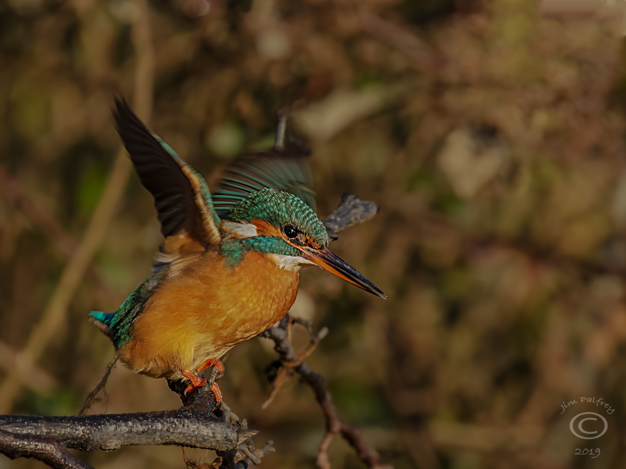 Photo in Nature #nature #wildlife #beauty #kingfisher