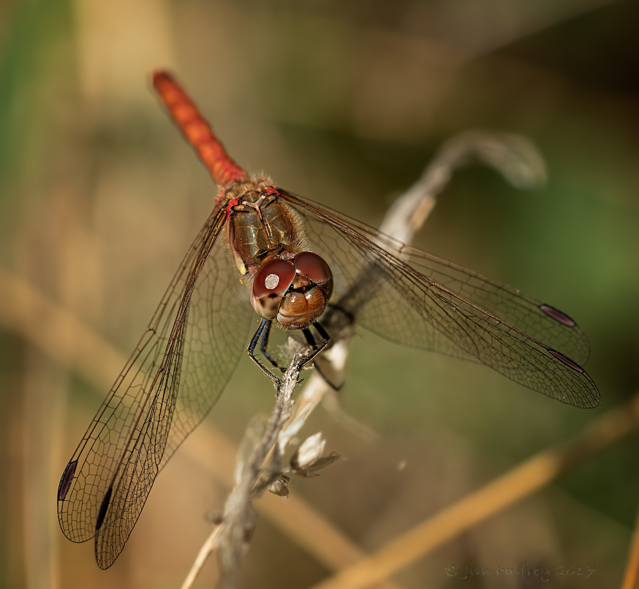 Male Common Darter up close and personal by Jim Palfrey