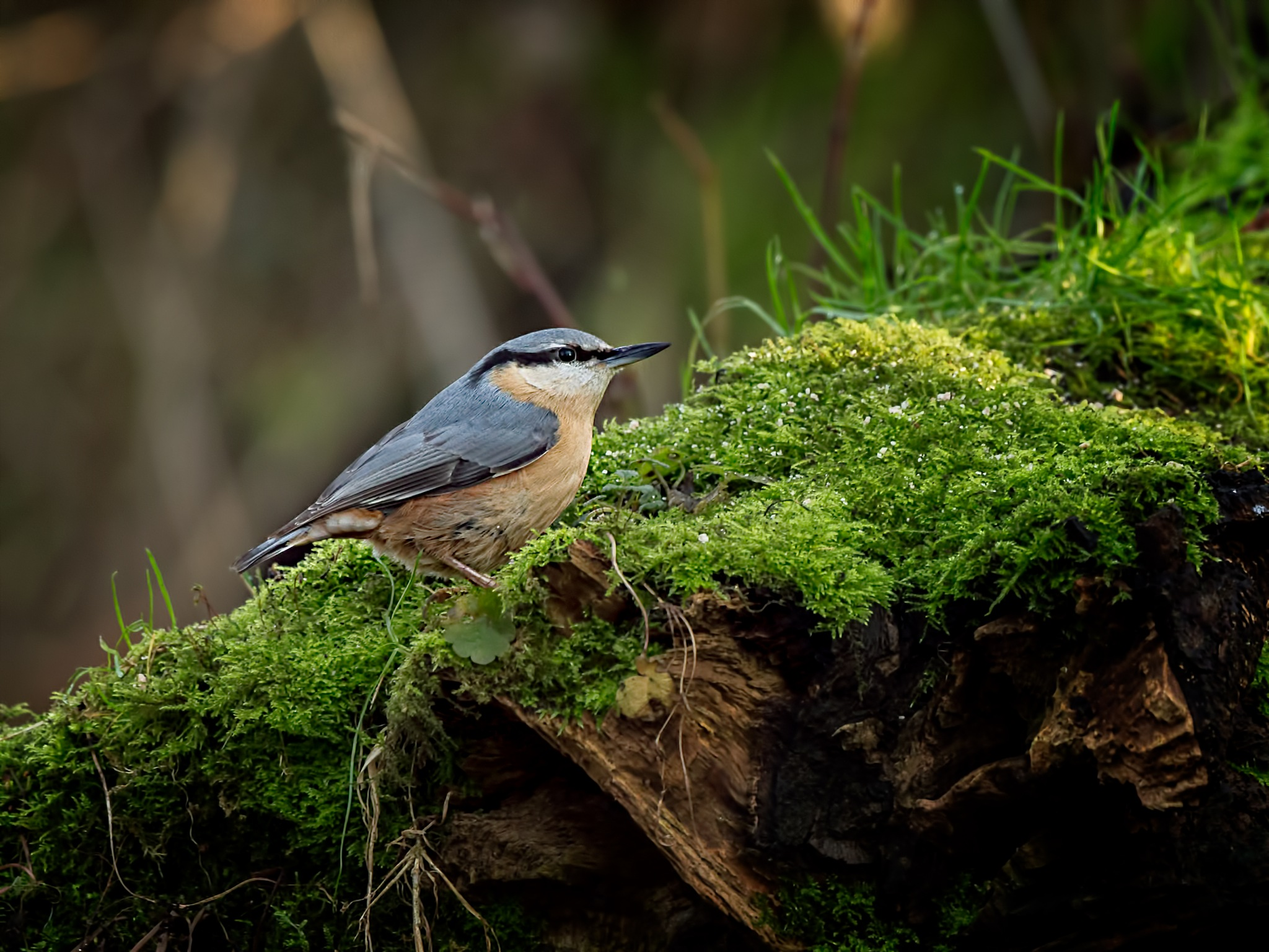 Nuthatch on a bed of Lichen by Jim Palfrey