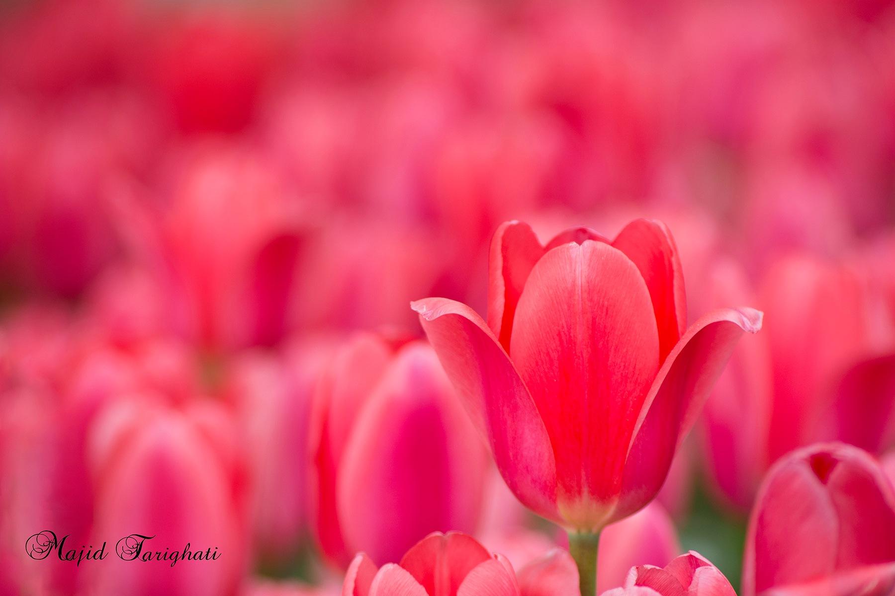 tulips by Majid Tarighati