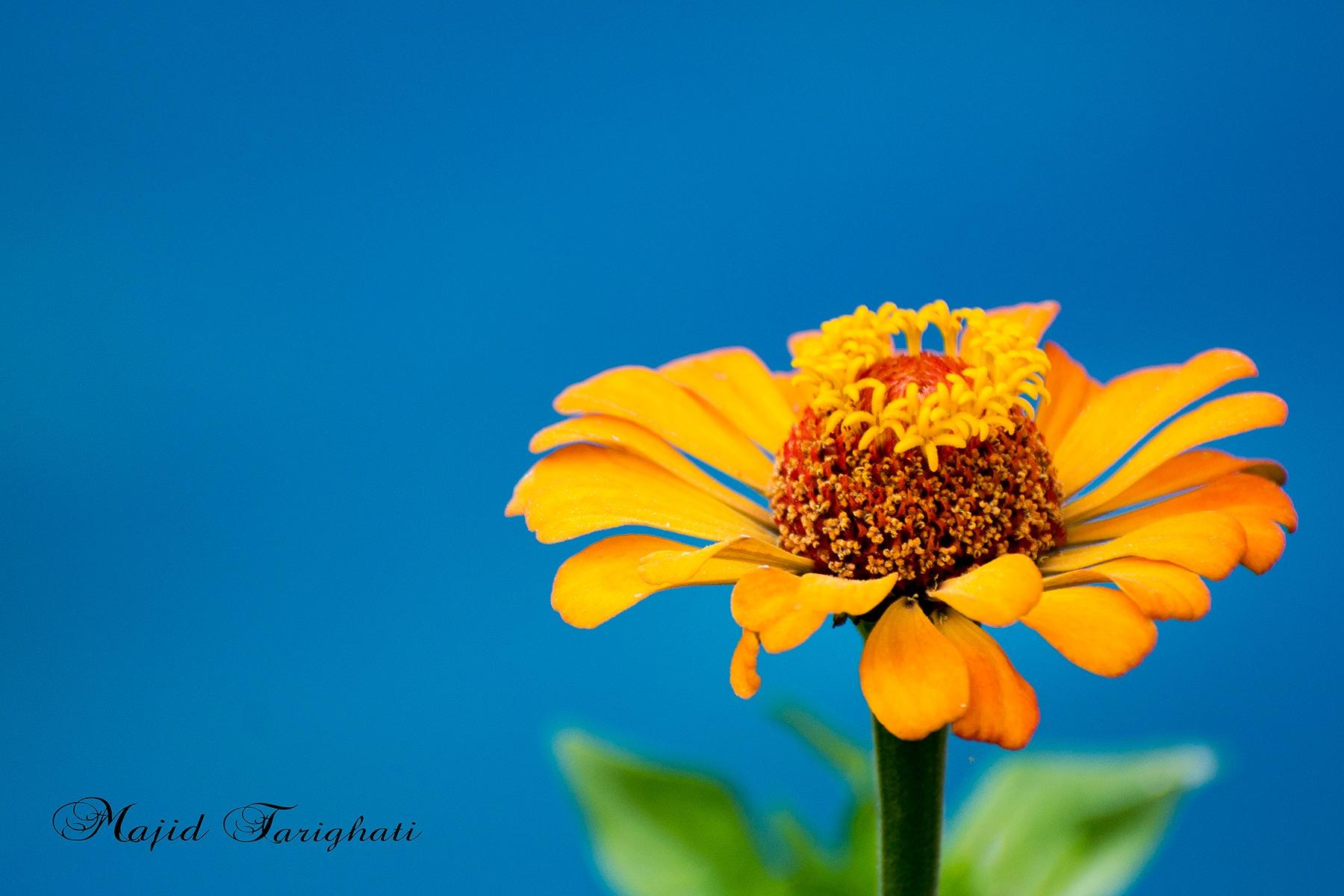 flower by Majid Tarighati