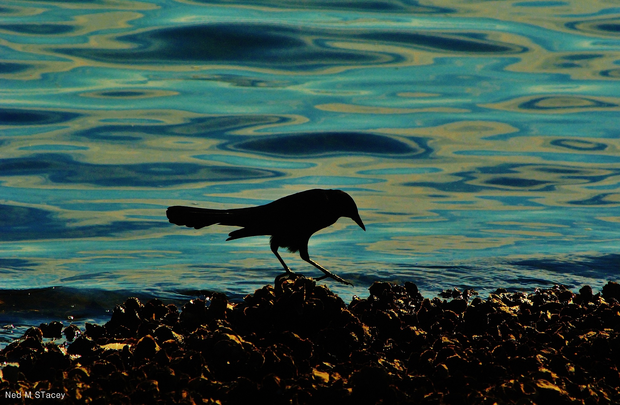 Grackle by NED