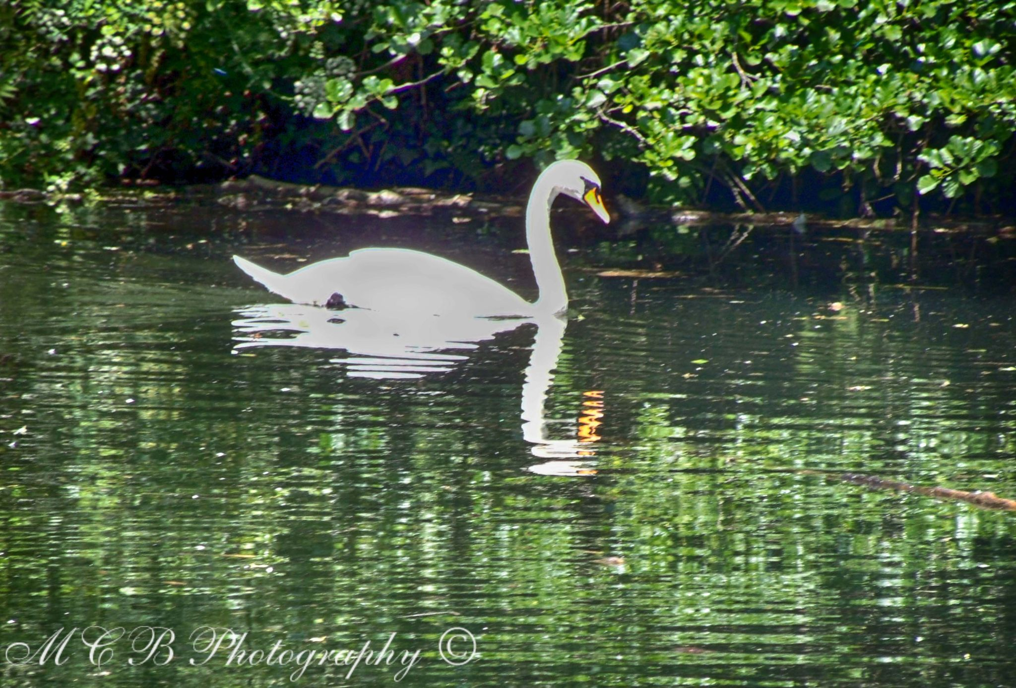 swan's reflection by michelle