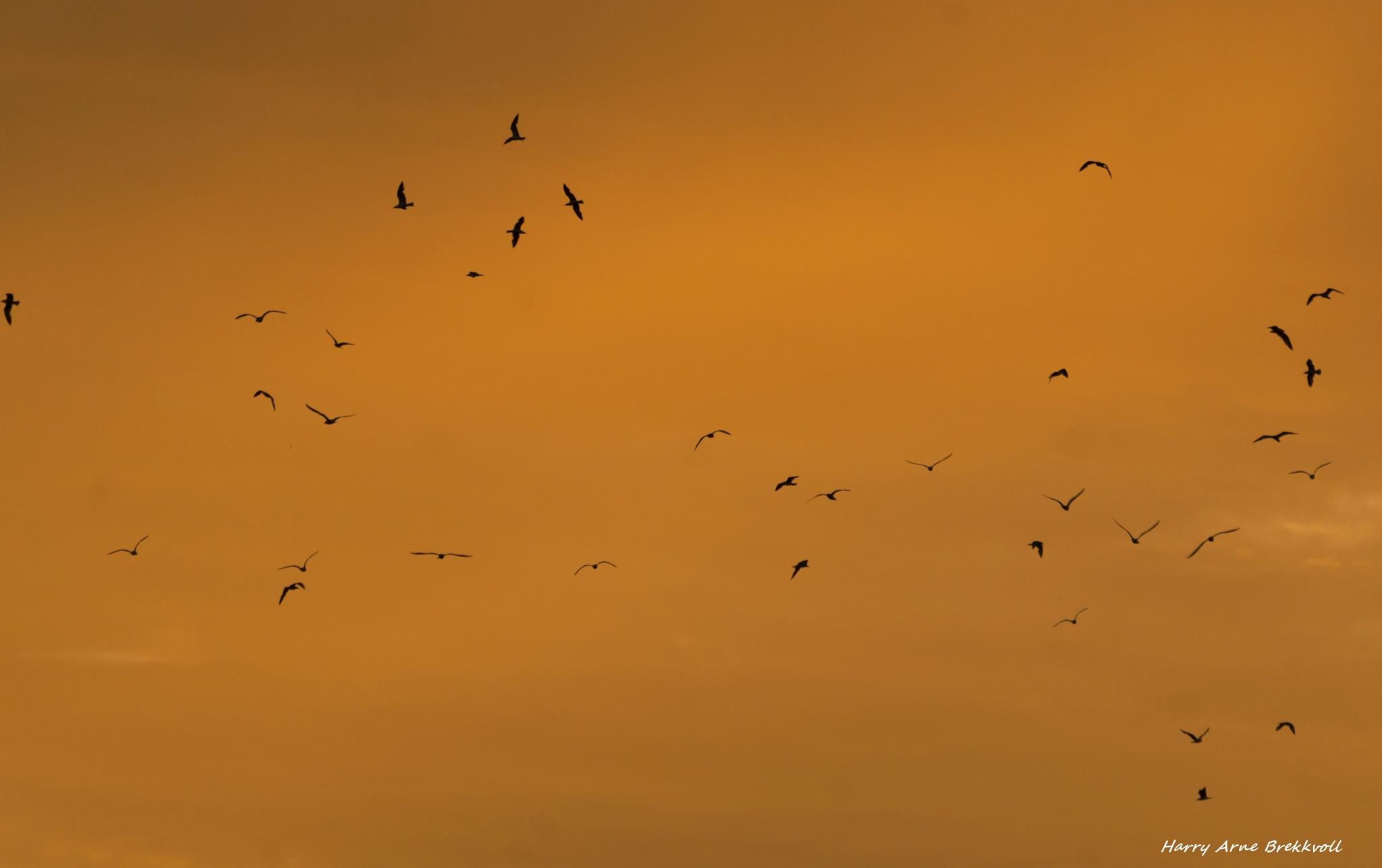 Seagulls by Phero