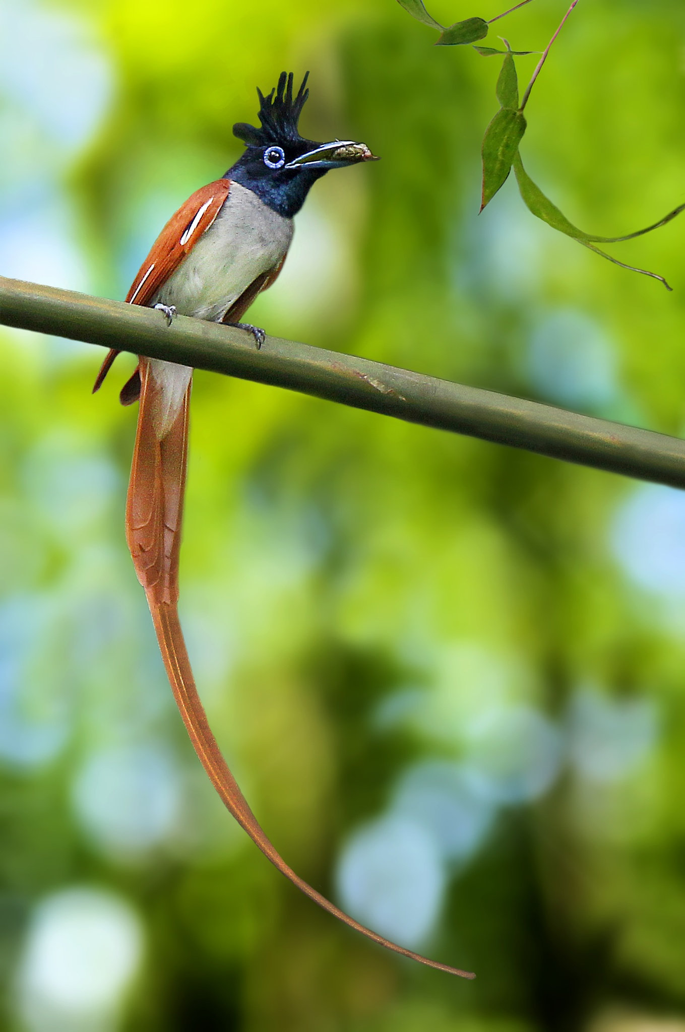 Asian Paradise Flycatcher by ParthaChakraborty