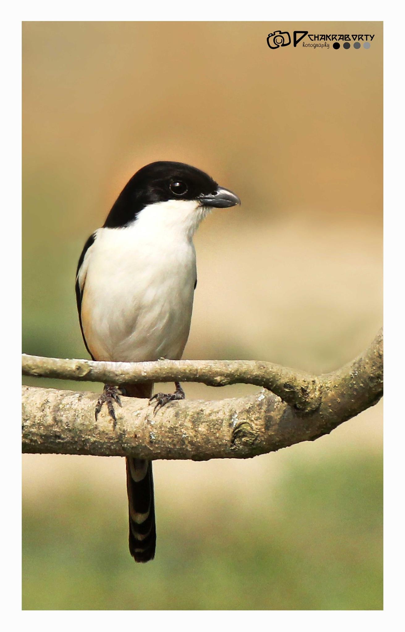Brown Shrike by ParthaChakraborty