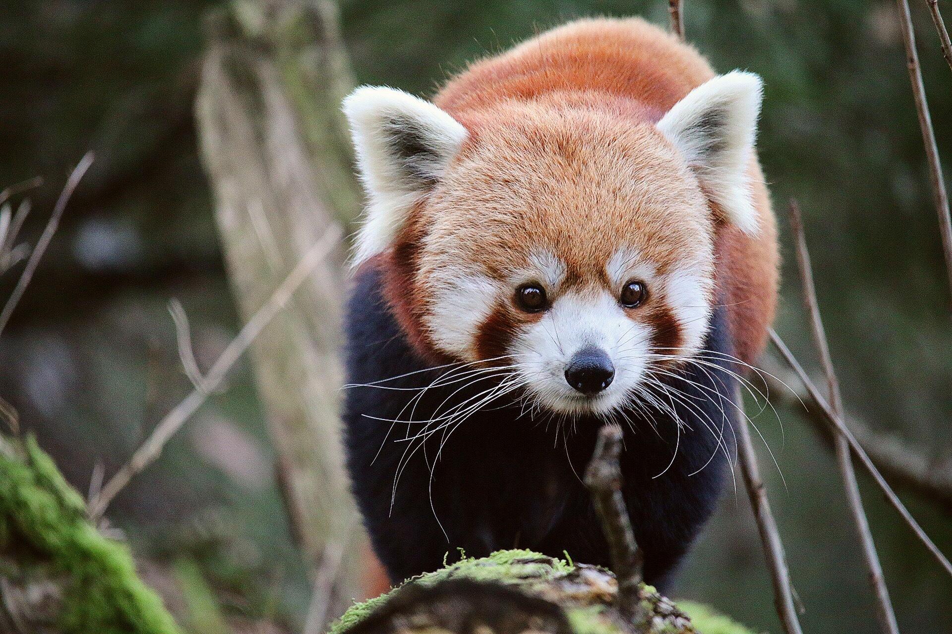 Red Panda by Ingstina