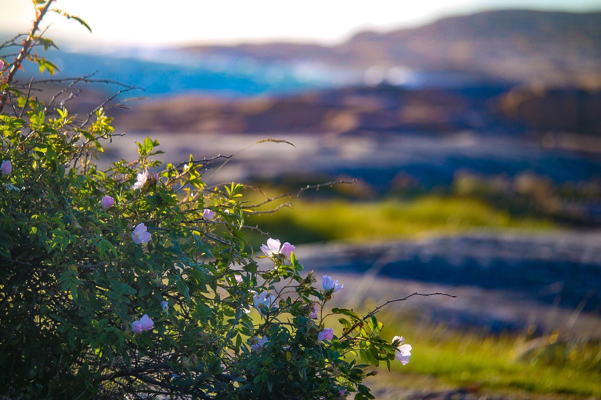 Wild roses by Ingstina