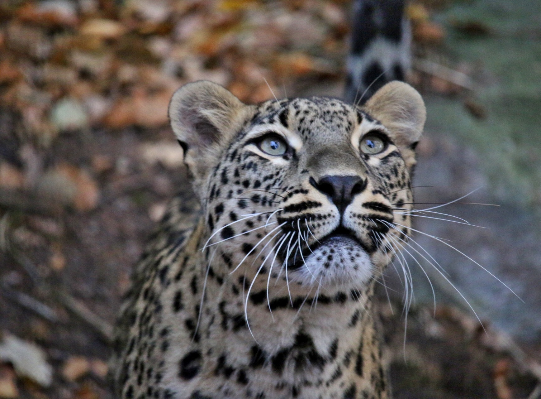 Persian leopard by Ingstina
