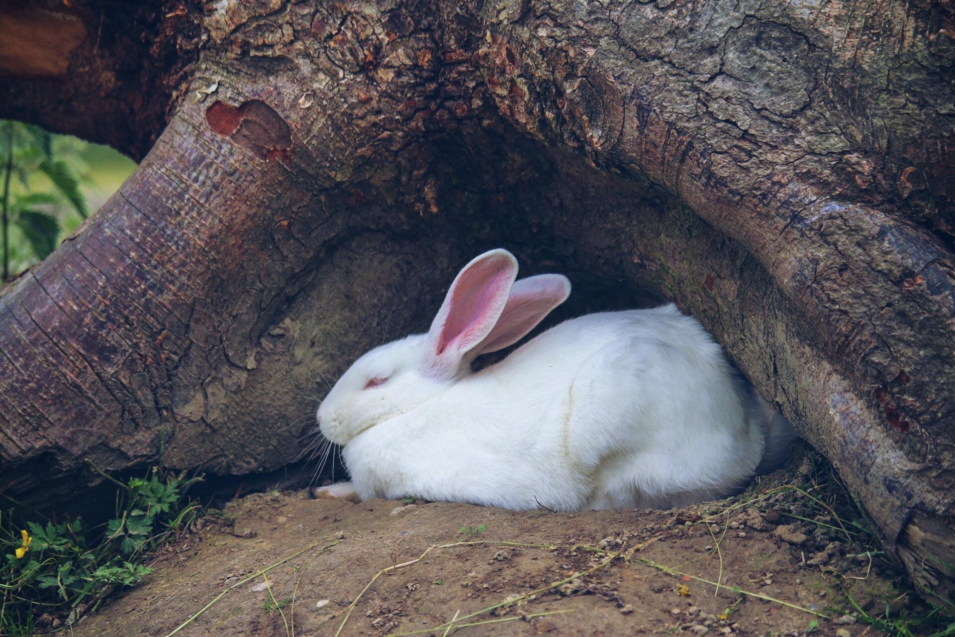 White rabbit by Ingstina