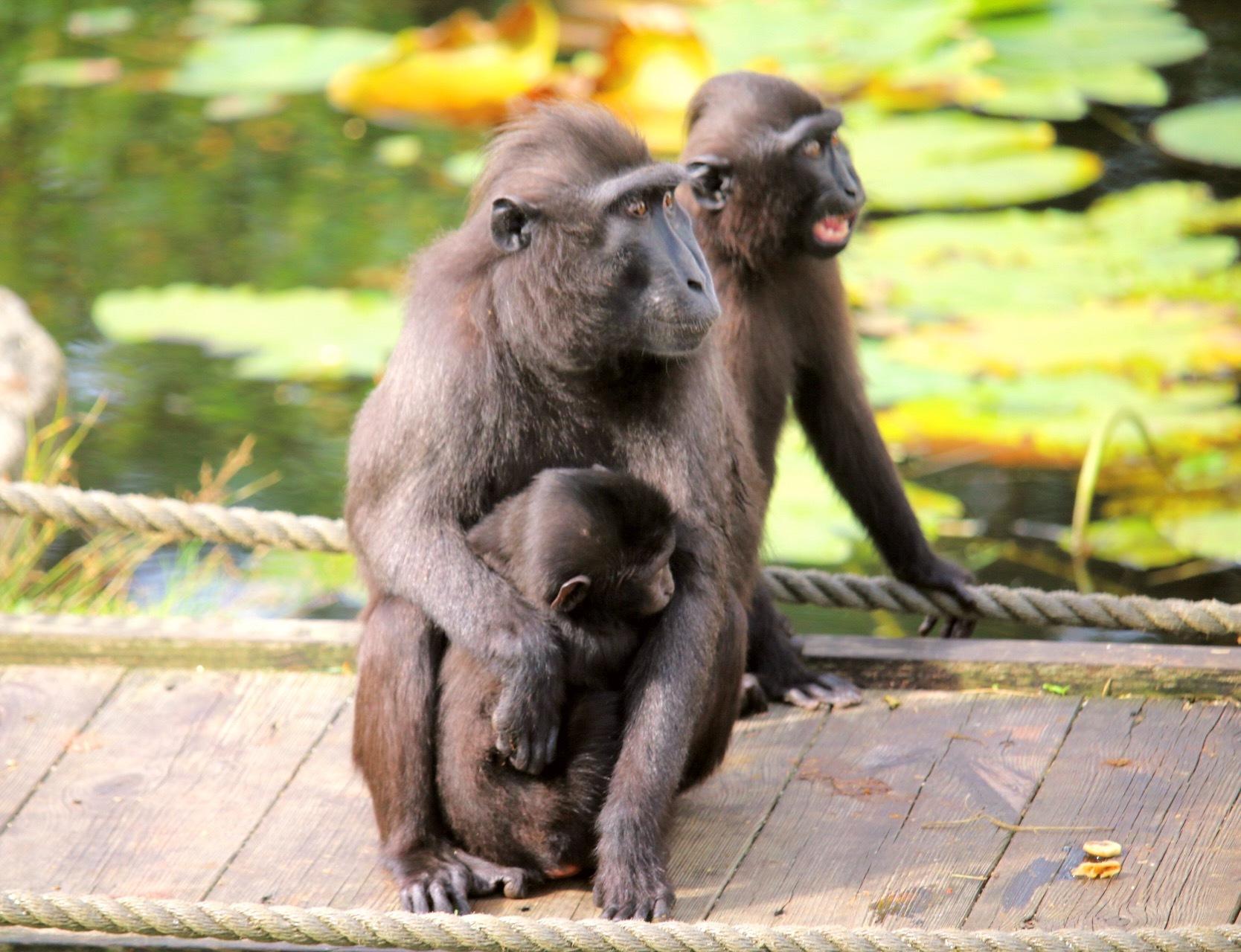 Monkeys by Ingstina