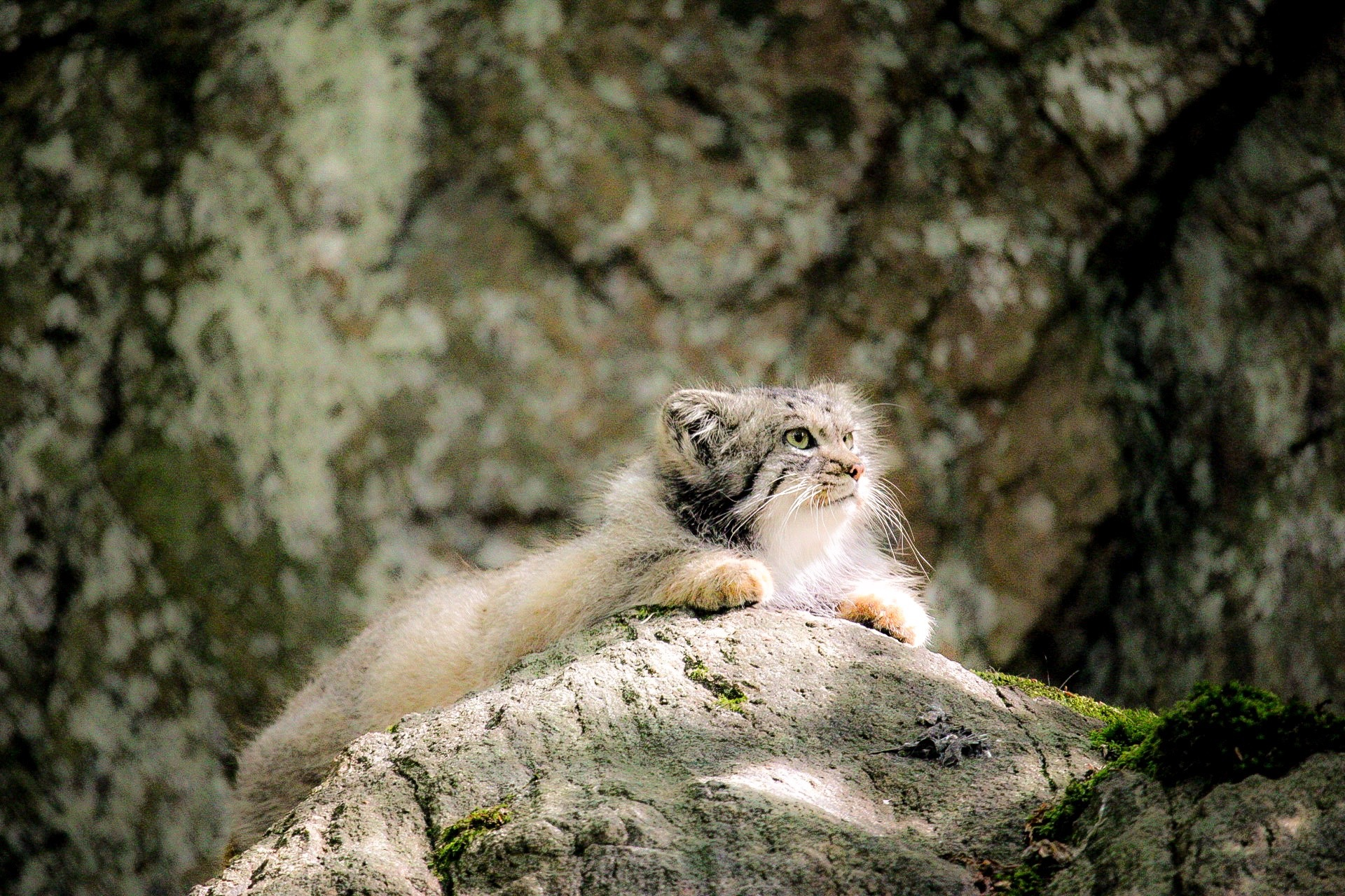 Pallas cat by Ingstina