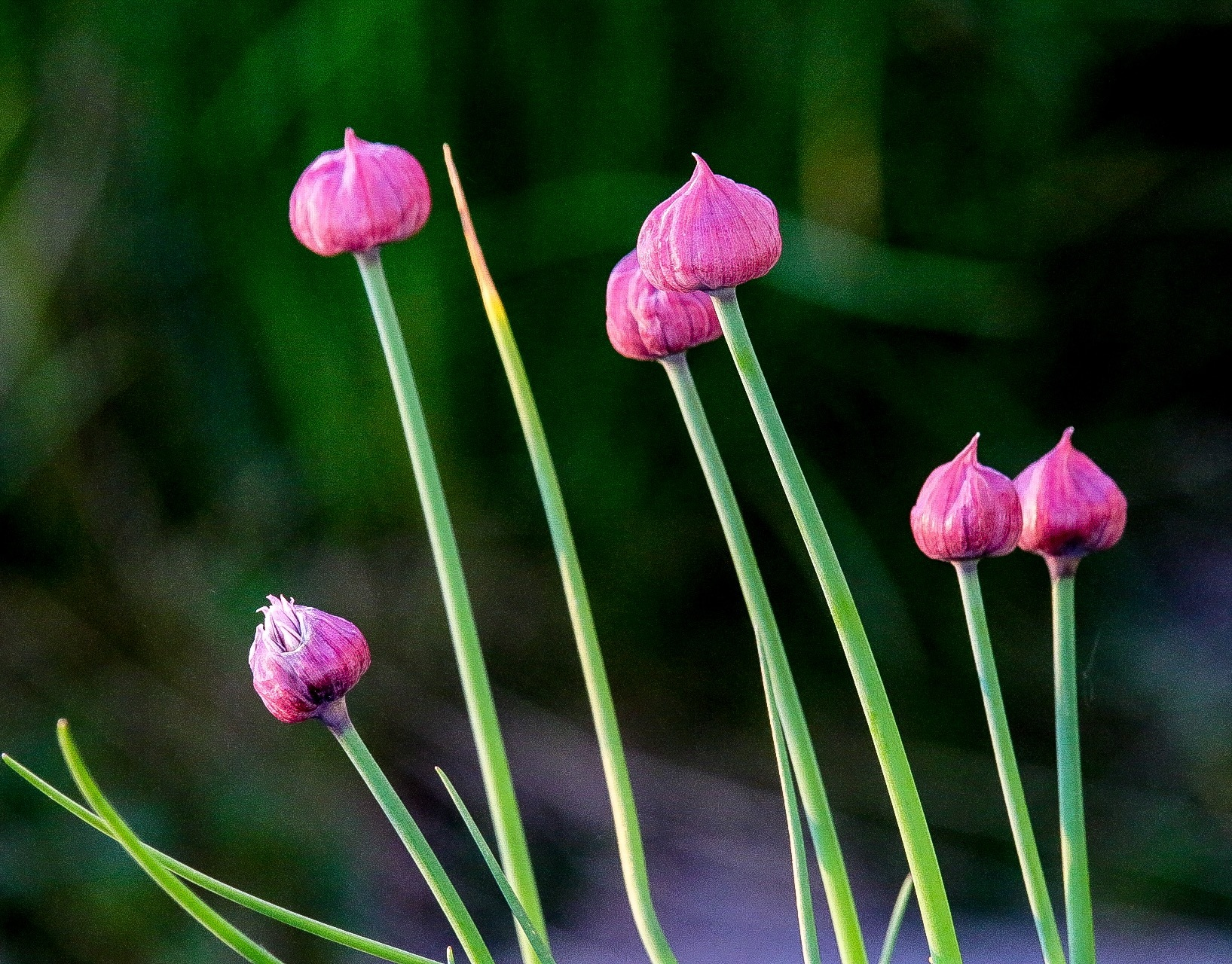 Chive by Ingstina